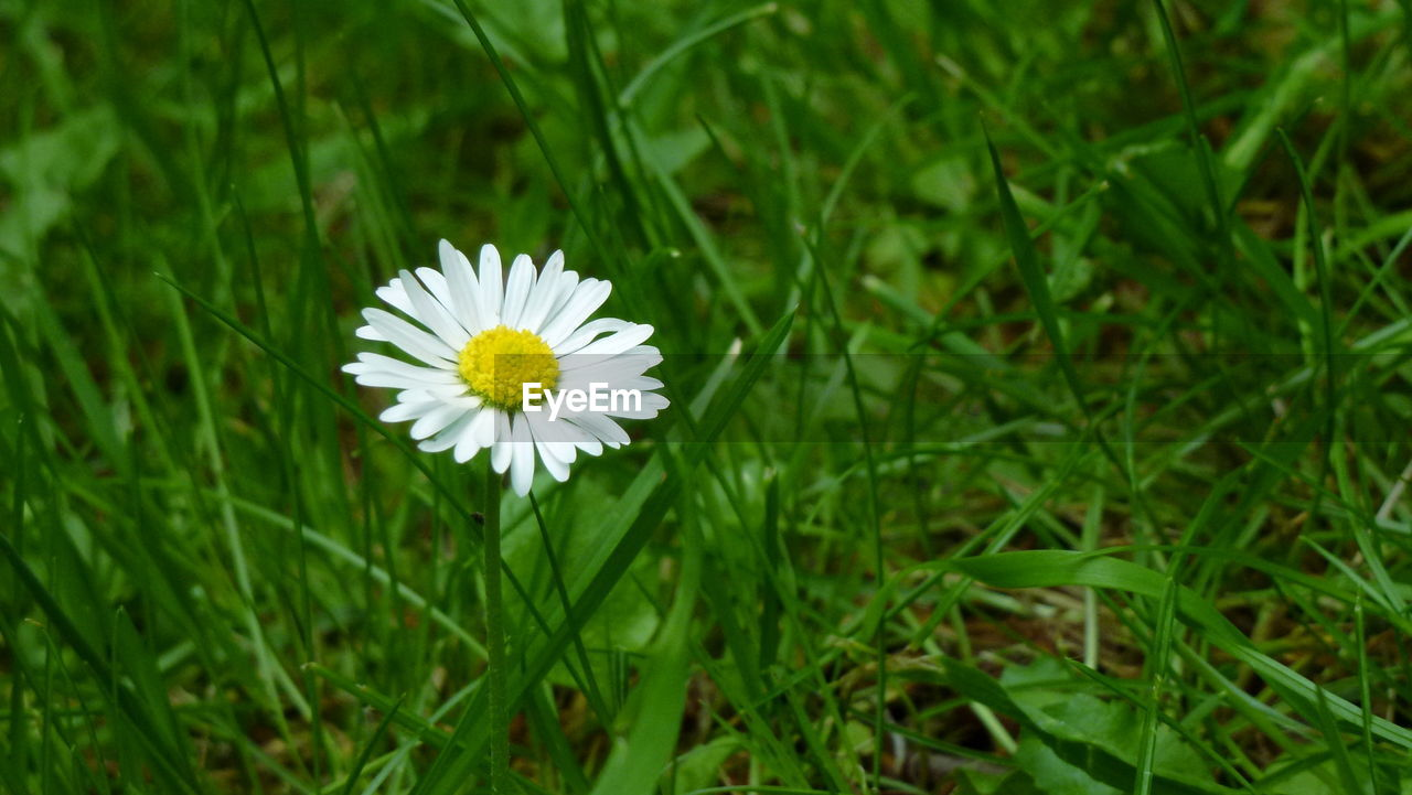 flower, white color, nature, petal, beauty in nature, fragility, freshness, growth, flower head, green color, outdoors, blooming, no people, day, plant, close-up, grass, yellow