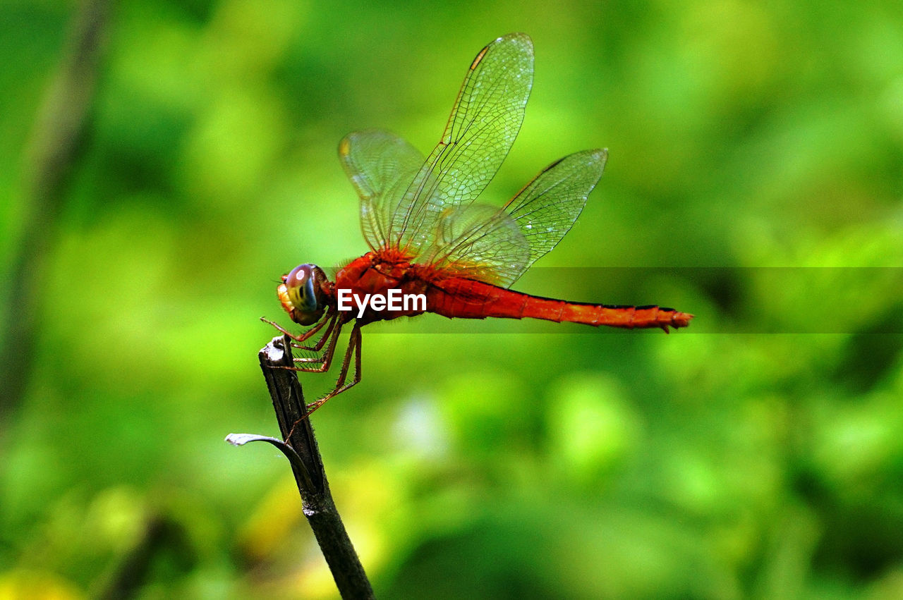 animals in the wild, invertebrate, animal wildlife, insect, animal themes, one animal, plant, focus on foreground, animal, close-up, animal wing, beauty in nature, day, nature, no people, dragonfly, green color, plant stem, growth, outdoors, flower