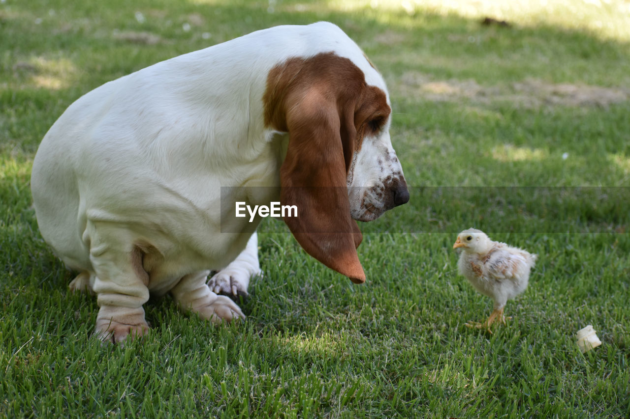 Dog And Baby Chicken On Grassy Field