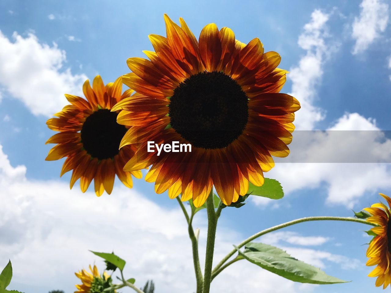 Close-Up Of Sunflowers Against Sky