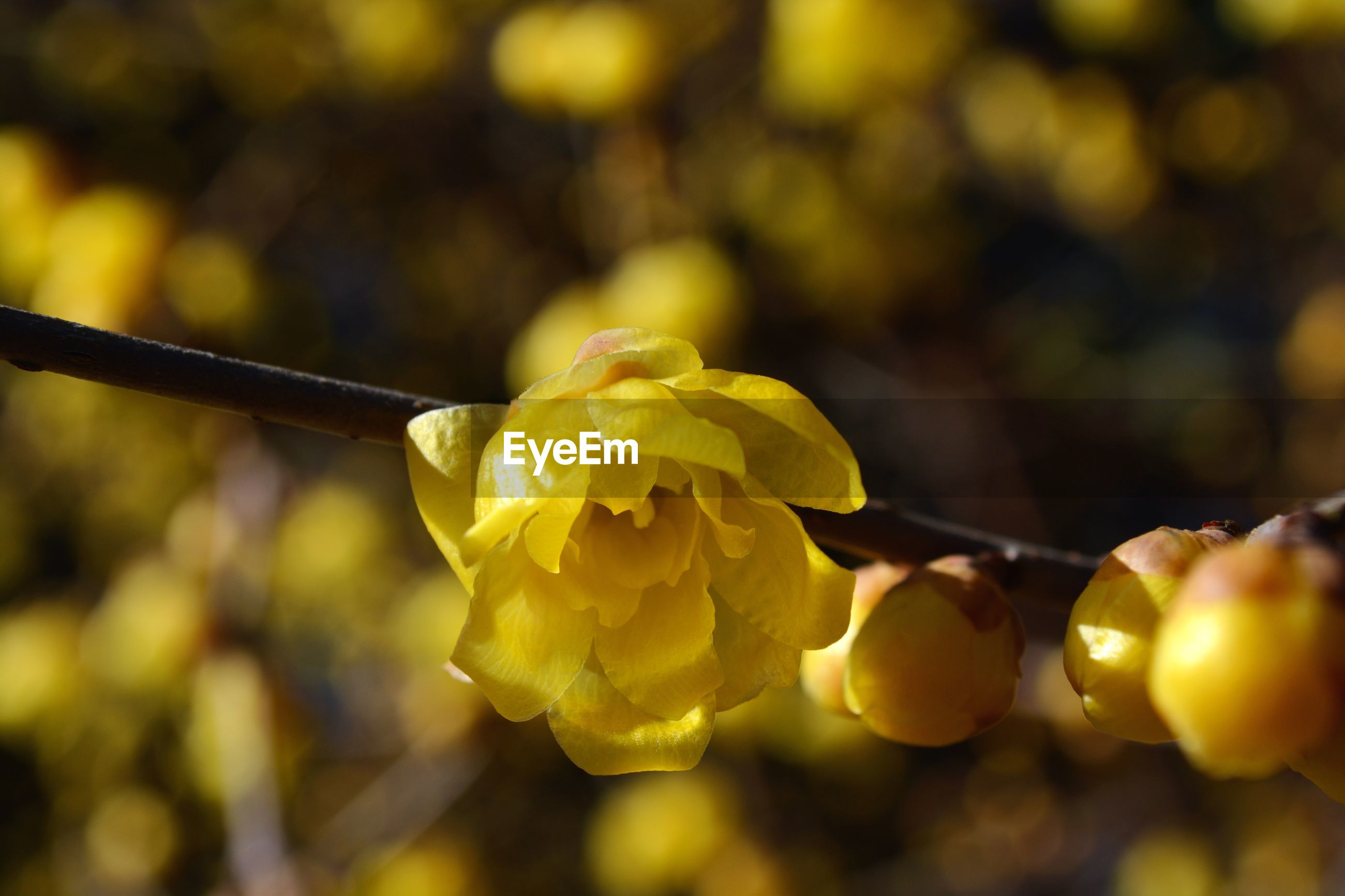 yellow, freshness, focus on foreground, close-up, flower, selective focus, hanging, food and drink, outdoors, day, no people, nature, fruit, fragility, food, growth, beauty in nature, healthy eating, petal, season