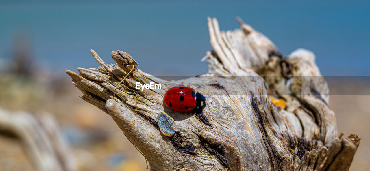 beetle, ladybug, focus on foreground, insect, animals in the wild, close-up, invertebrate, animal wildlife, nature, red, day, tree, animal themes, animal, no people, one animal, plant, wood - material, sunlight, spotted, outdoors