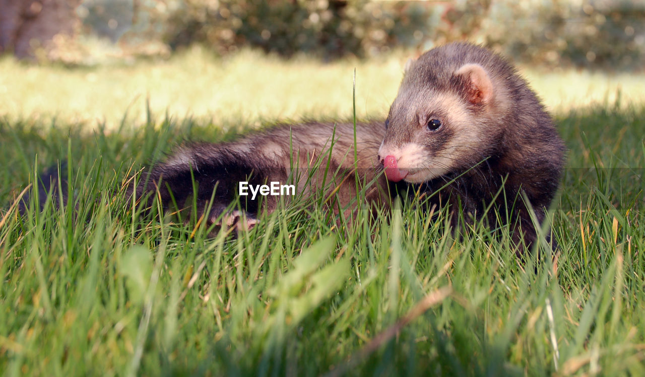 Close-up of weasel resting on grassy field