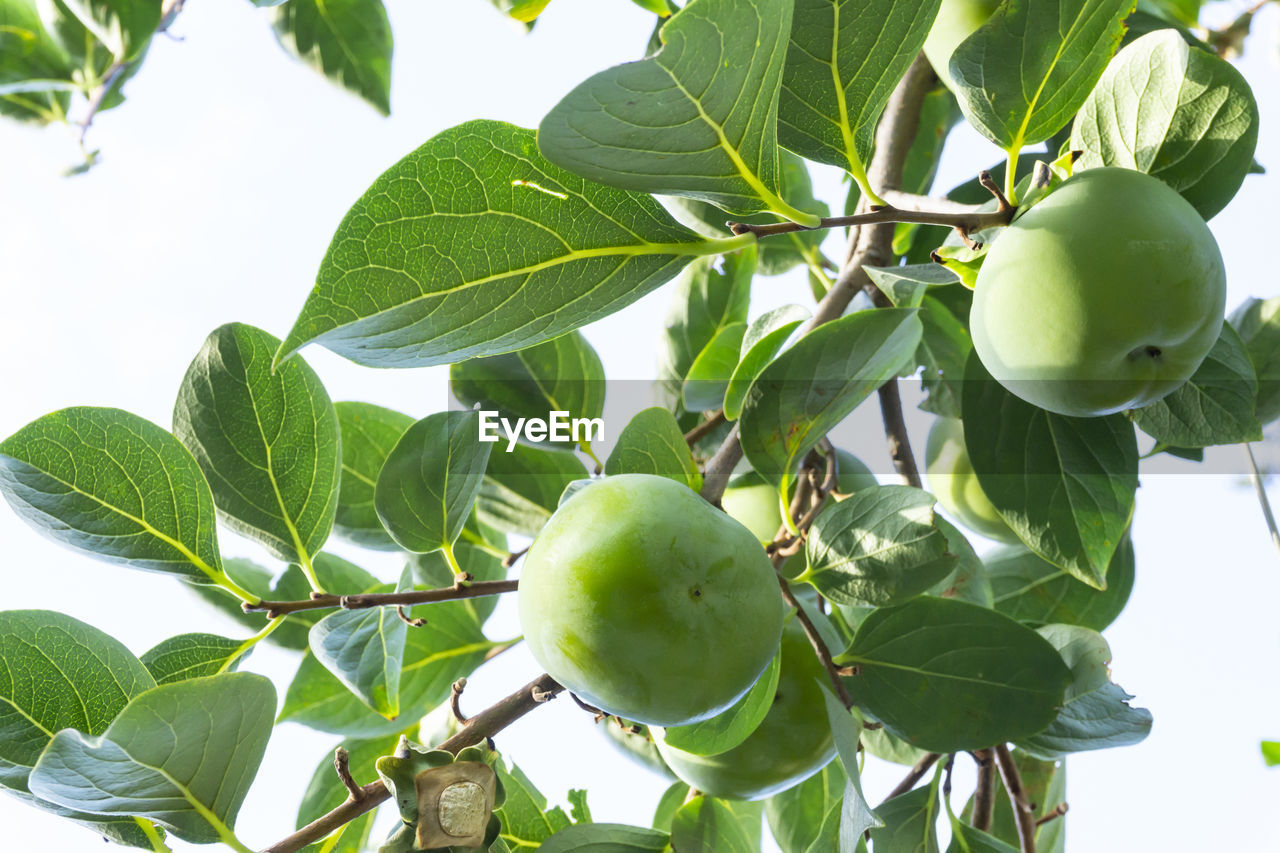 leaf, plant part, fruit, healthy eating, green color, food and drink, tree, plant, food, growth, freshness, wellbeing, nature, branch, low angle view, fruit tree, apple - fruit, close-up, apple tree, day, no people, outdoors, apple, ripe