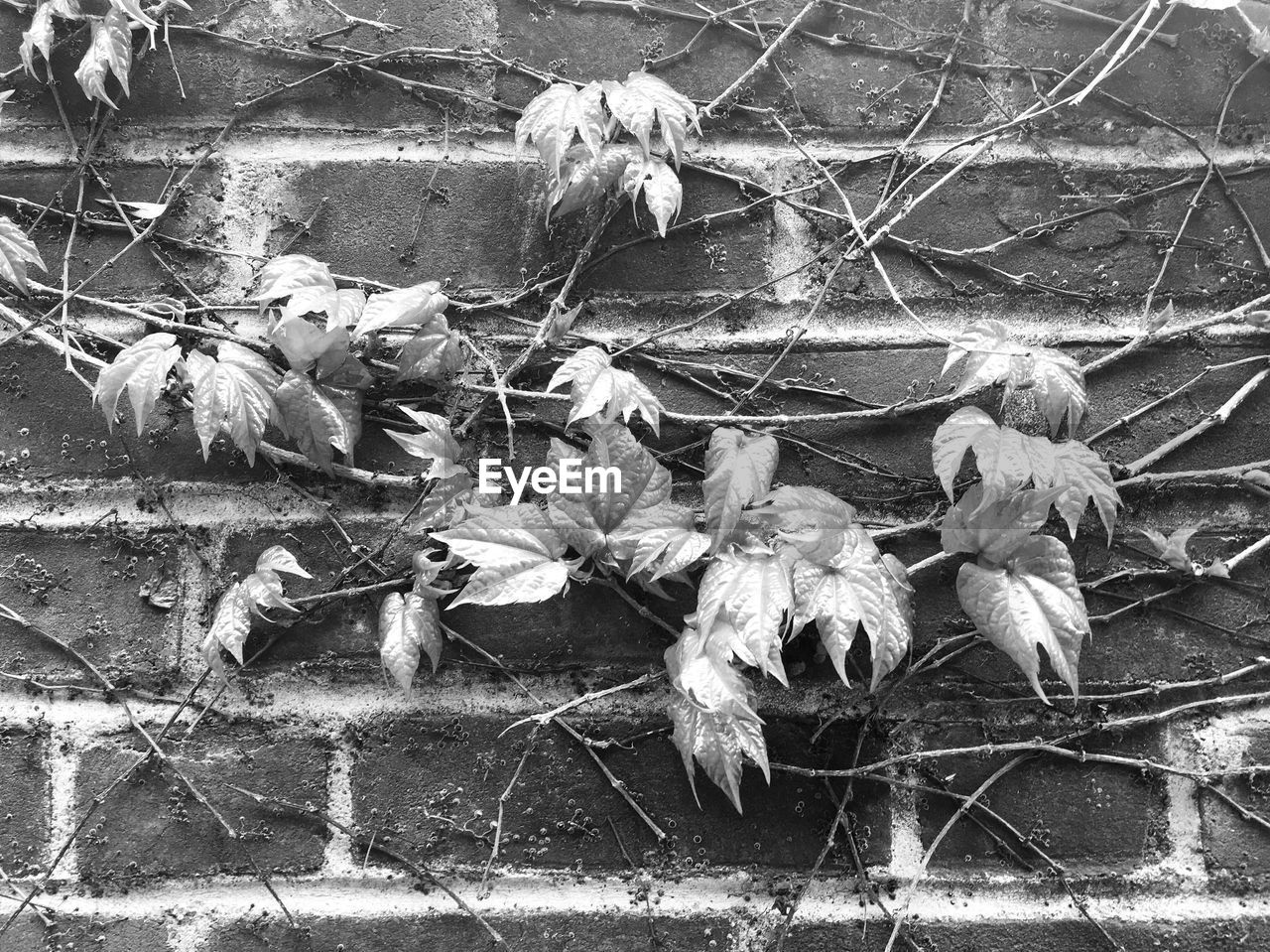 Close-up of vine growing on brick wall