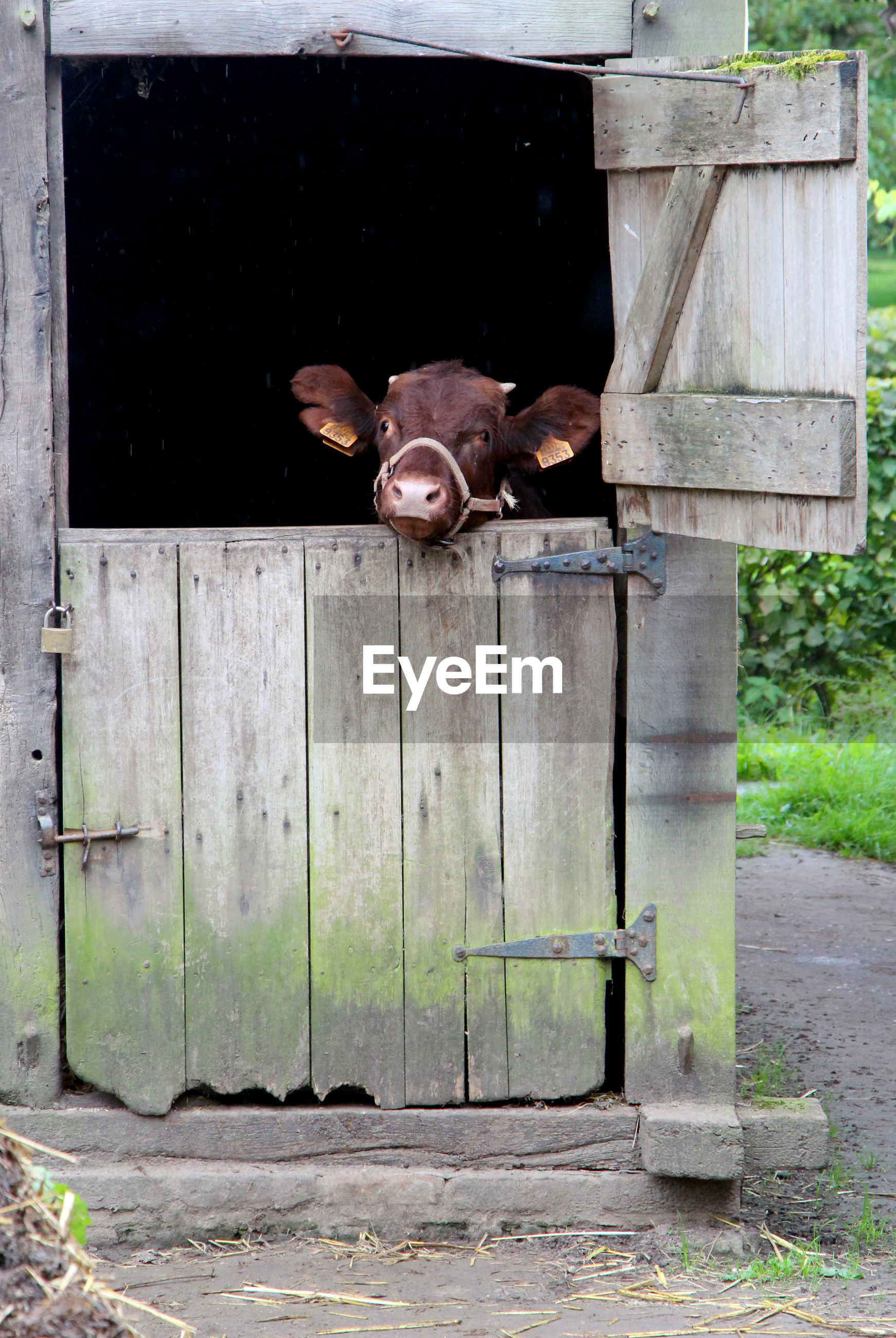Domestic cattle seen at entrance of shed