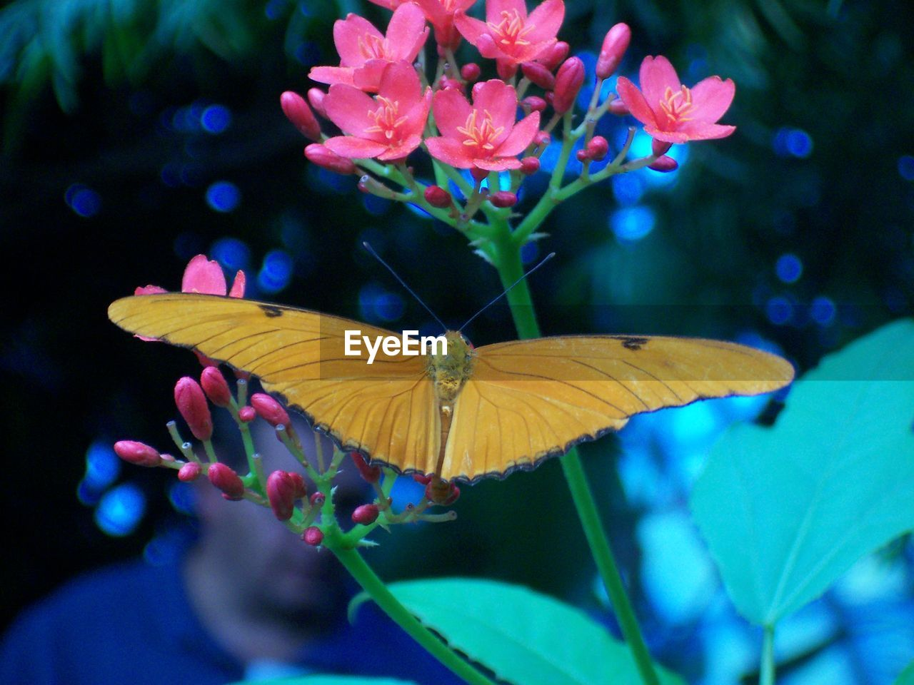 animals in the wild, butterfly - insect, insect, animal themes, one animal, nature, butterfly, fragility, beauty in nature, freshness, close-up, growth, leaf, outdoors, day, flower, spread wings, no people, flower head