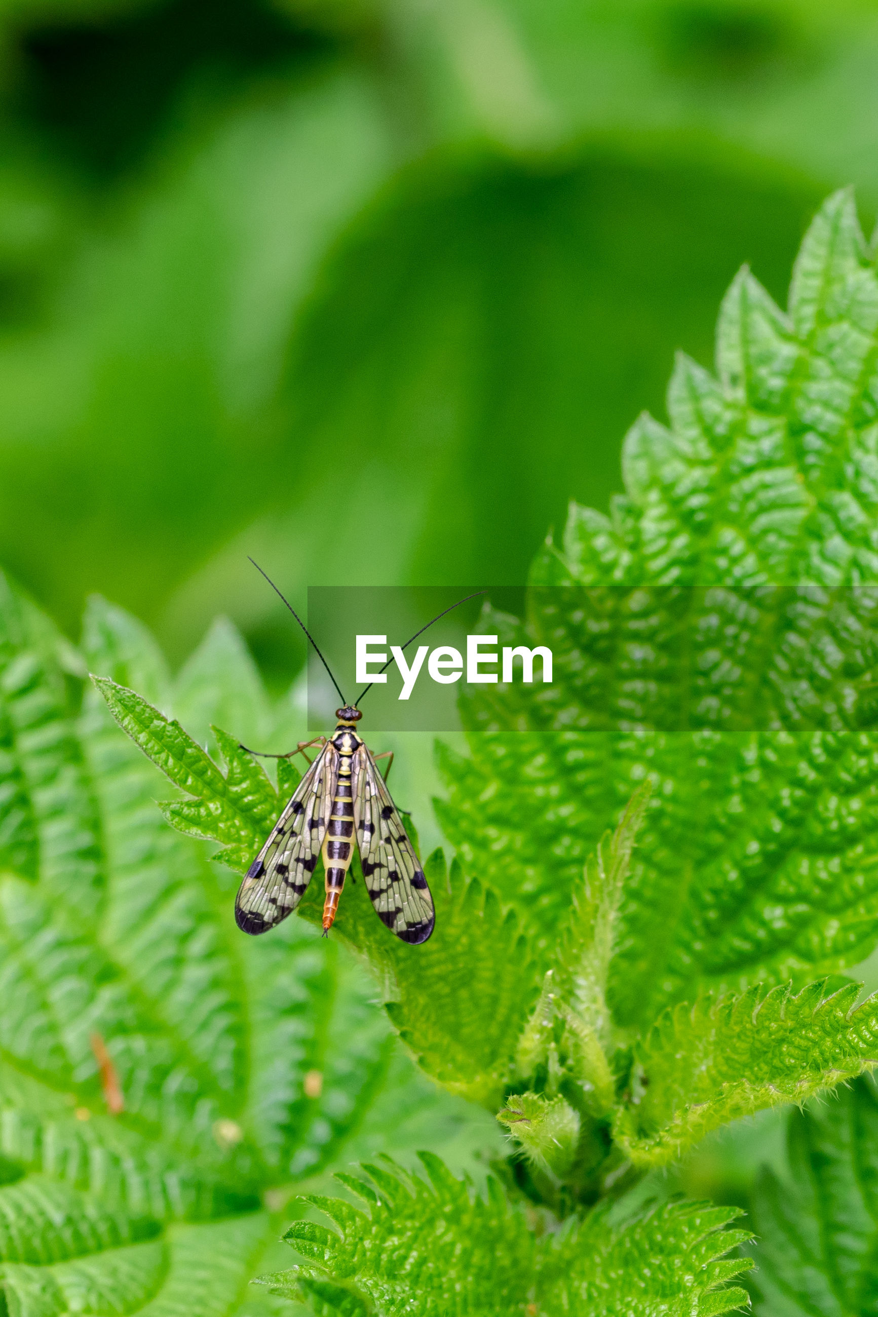 Common scorpion fly, panorpa communis, resting on a stinging nettle leaf