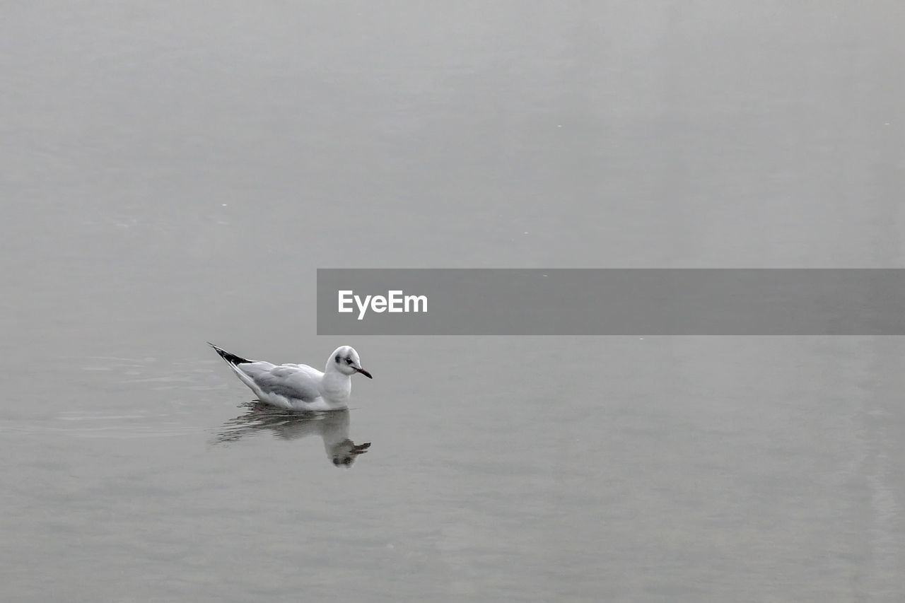 animal themes, one animal, animals in the wild, bird, water, lake, waterfront, animal wildlife, nature, day, spread wings, no people, water bird, outdoors, swimming, flying, swan, beauty in nature