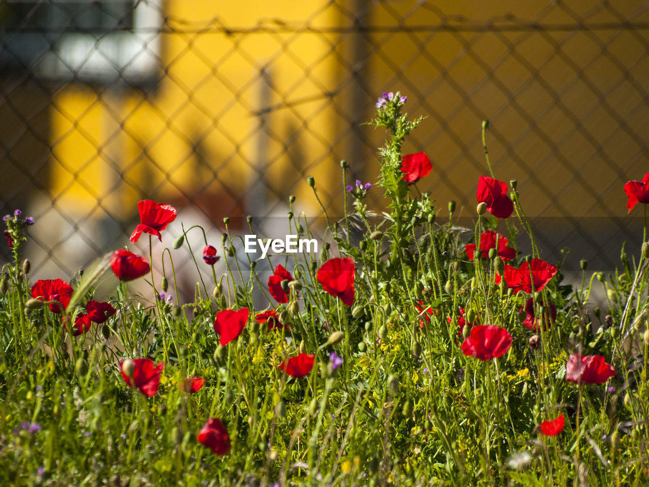 Close-Up Of Poppy Flowers Blooming Outdoors