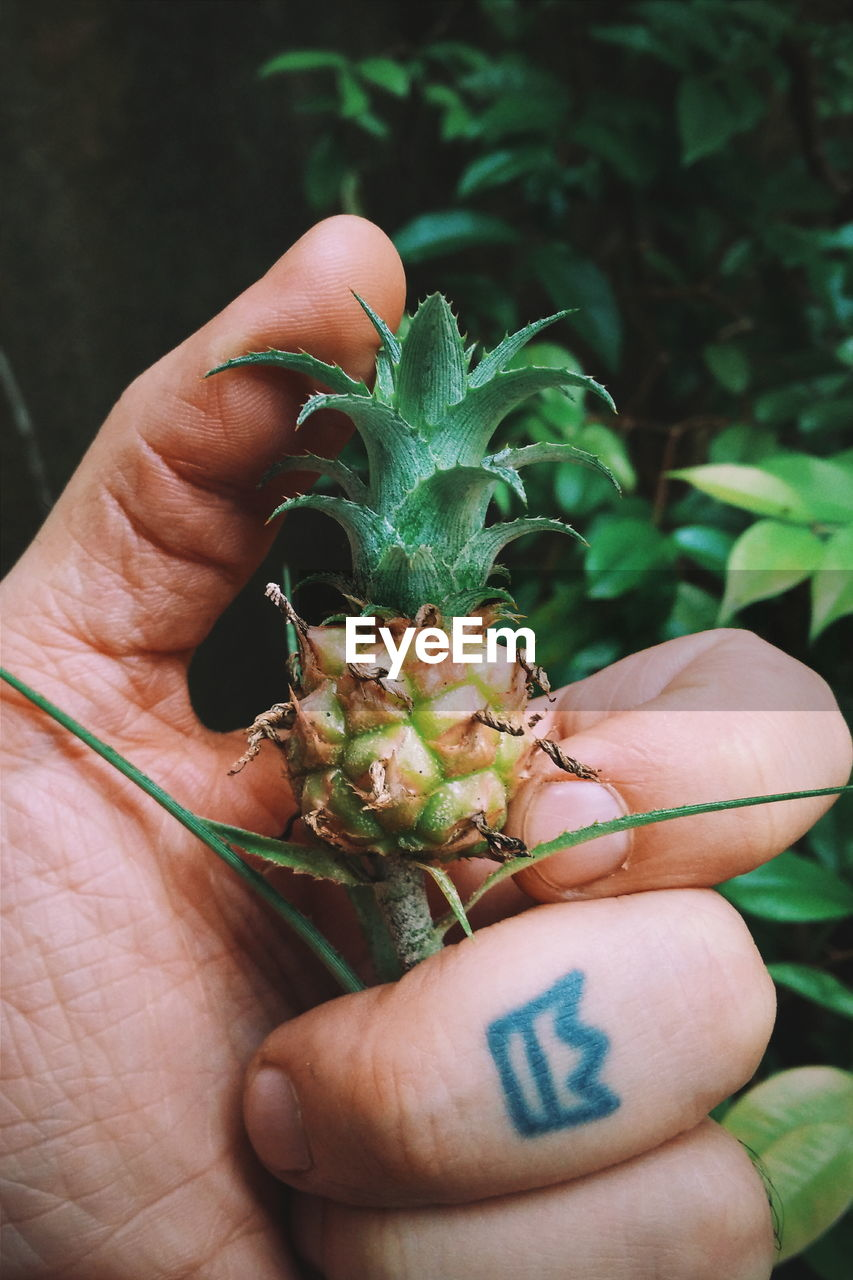 Cropped Image Of Person Holding Small Pineapple