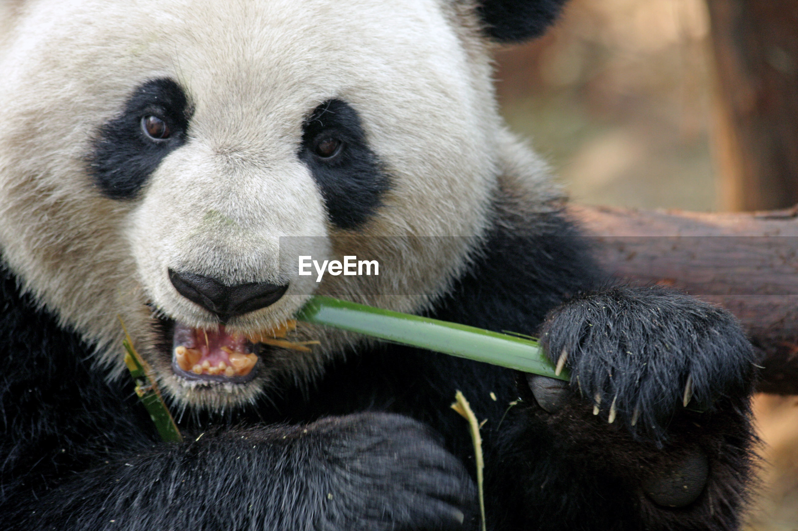 Close-up of giant panda eating bamboo