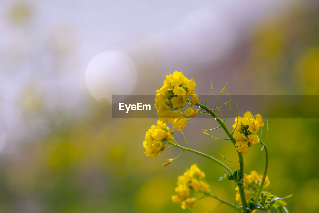 flower, flowering plant, fragility, plant, vulnerability, beauty in nature, growth, yellow, freshness, close-up, nature, day, focus on foreground, no people, oilseed rape, flower head, outdoors, sunlight, selective focus, petal, springtime