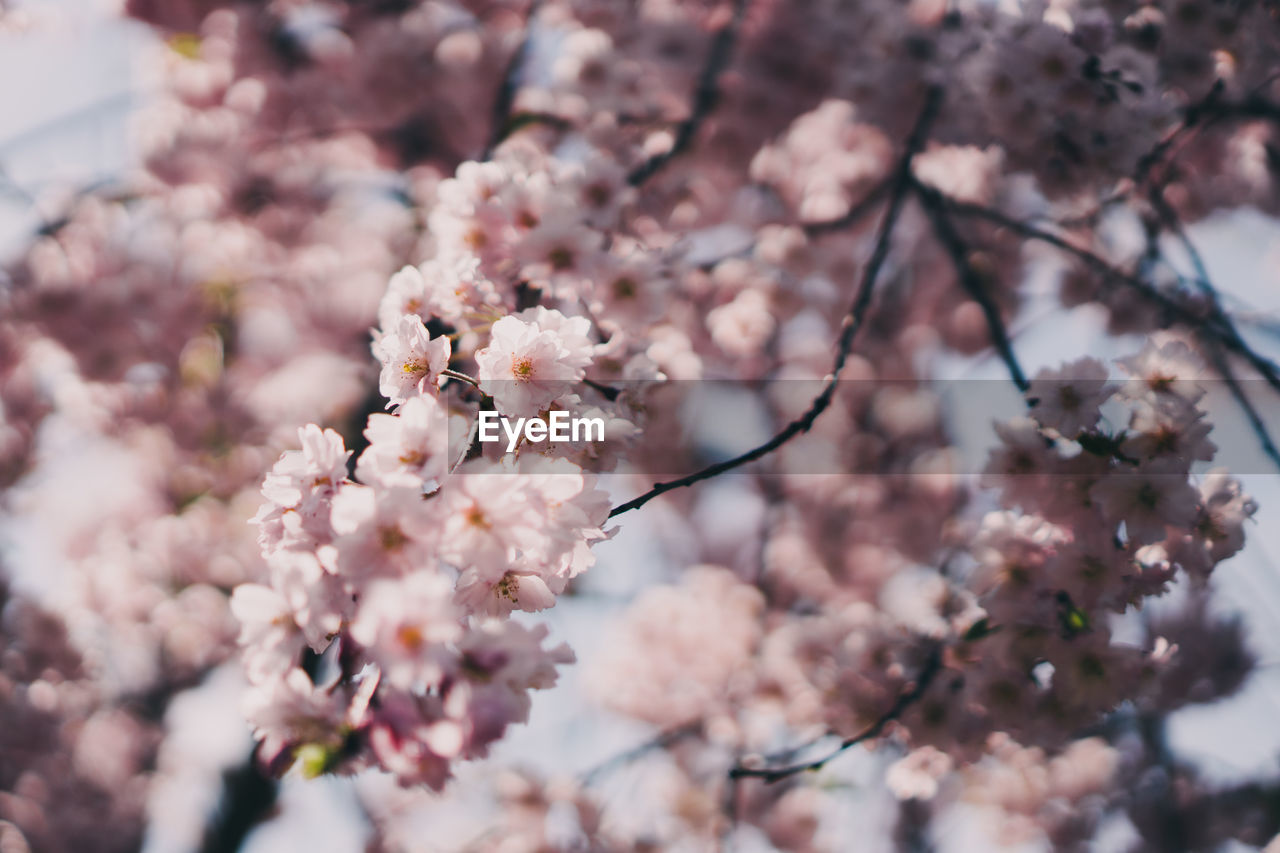 flowering plant, flower, plant, fragility, freshness, growth, blossom, vulnerability, beauty in nature, springtime, tree, branch, close-up, nature, cherry blossom, day, no people, pink color, cherry tree, inflorescence, flower head, outdoors, pollen, spring, bunch of flowers