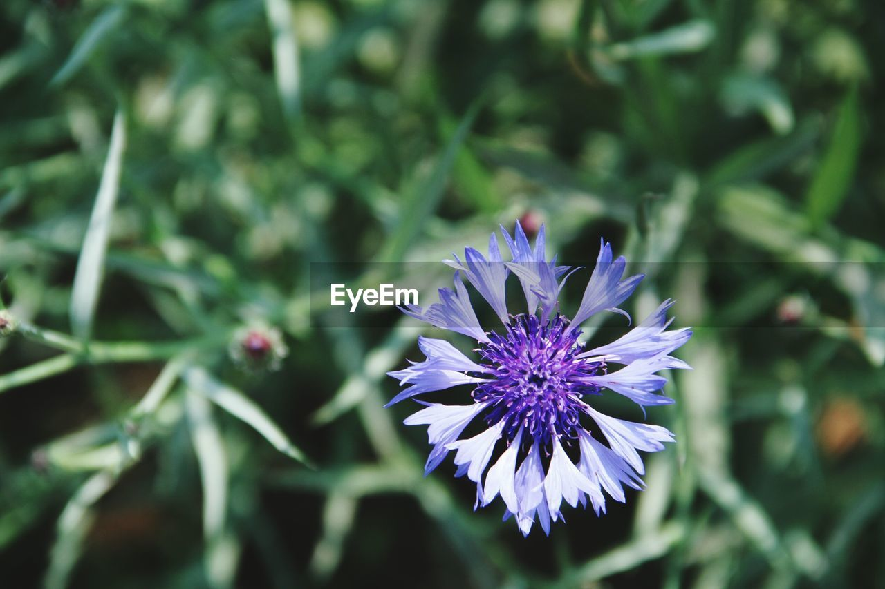 flower, growth, purple, nature, beauty in nature, fragility, plant, petal, freshness, outdoors, no people, close-up, day, flower head, blooming