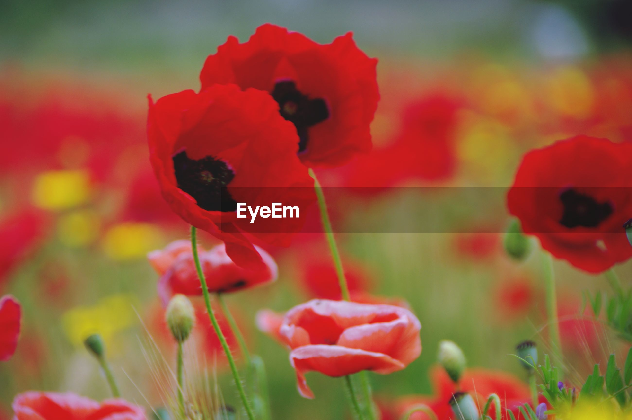CLOSE-UP OF RED POPPY FLOWERS GROWING ON FIELD