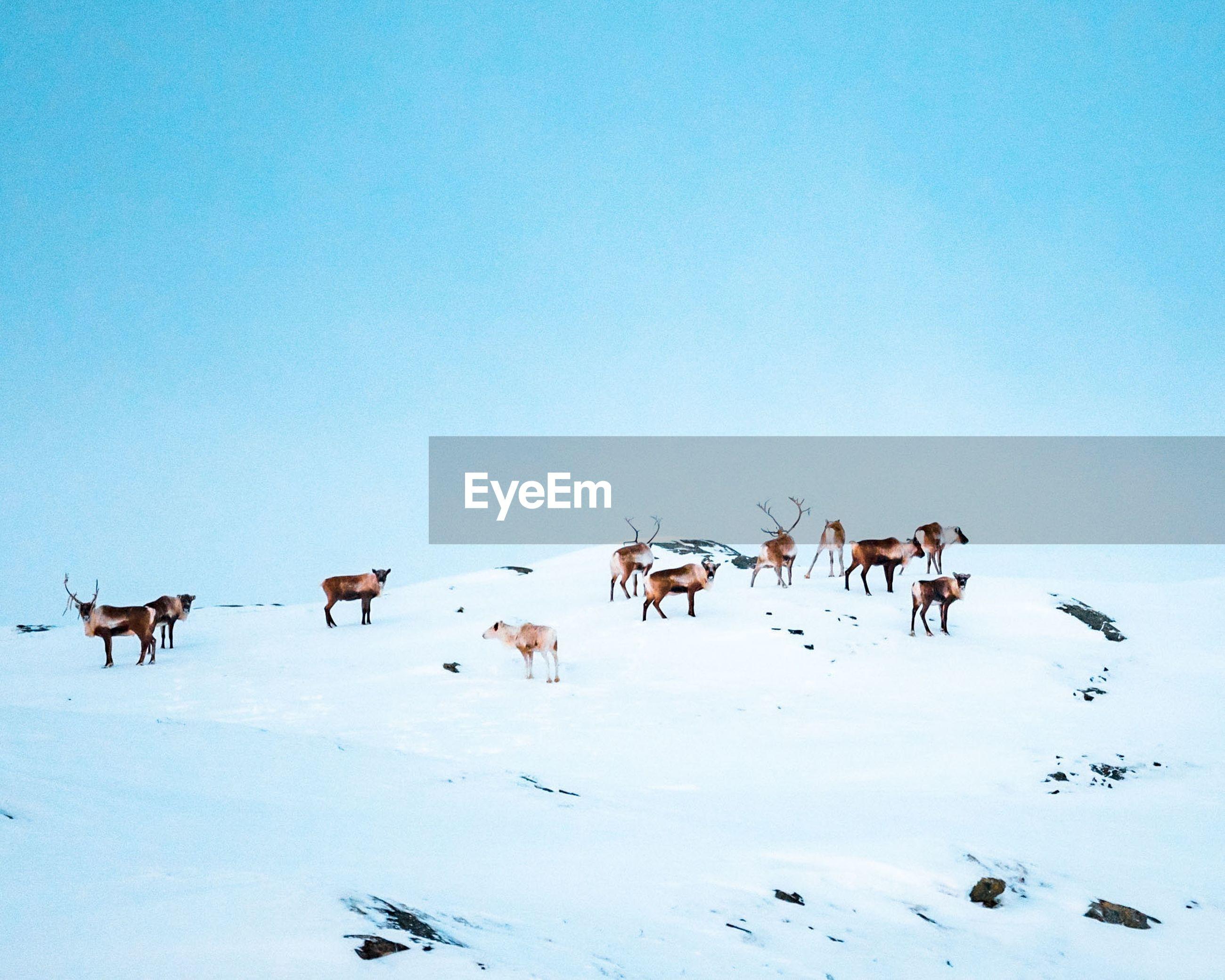 Herd of reindeer in snow against clear sky