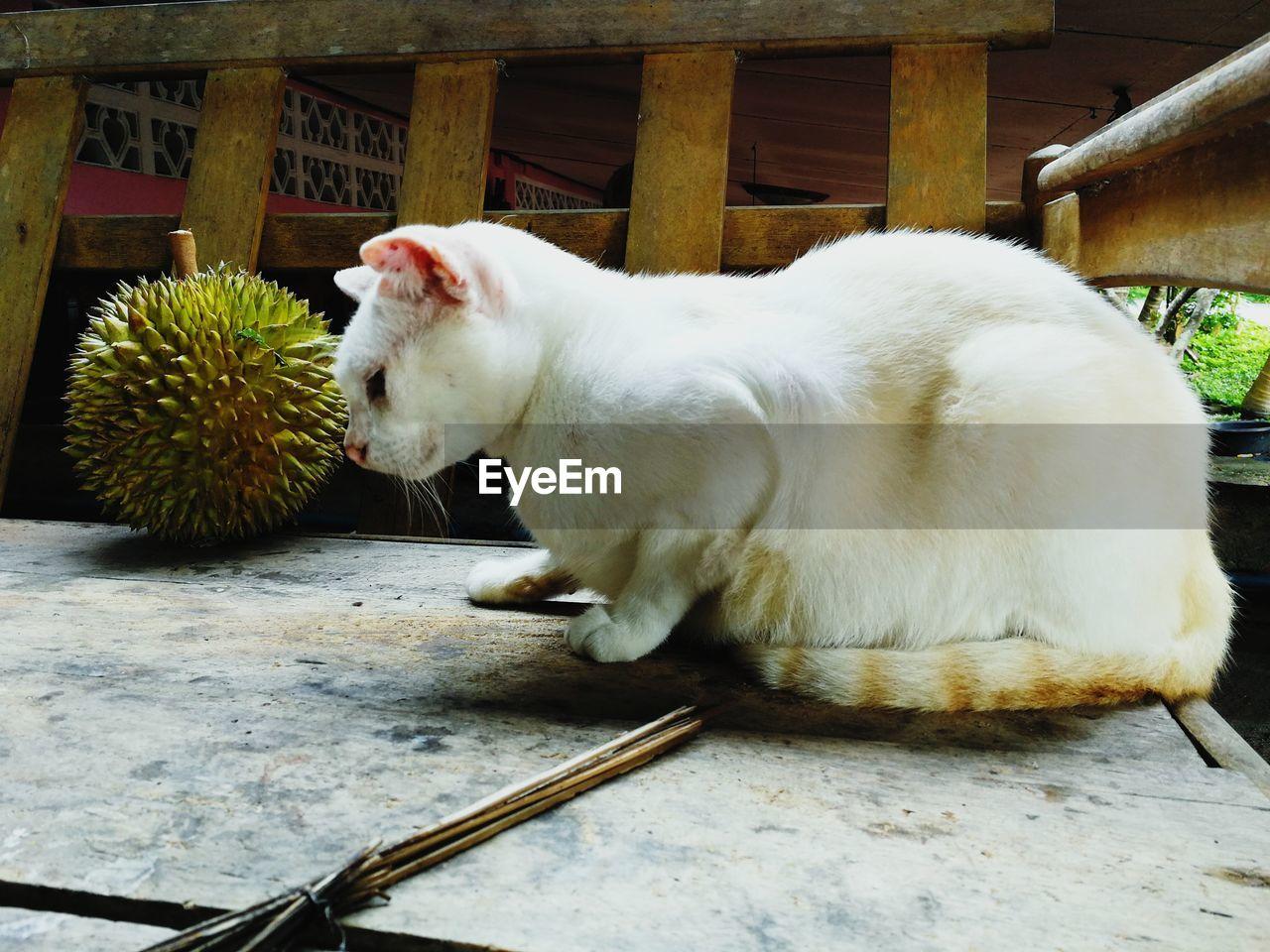 WHITE CAT EATING