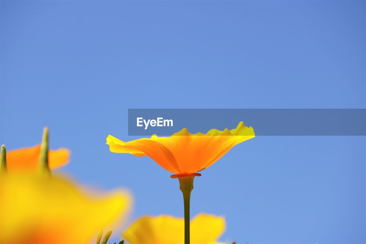 Close-Up Of Fresh Yellow Flower Against Clear Blue Sky