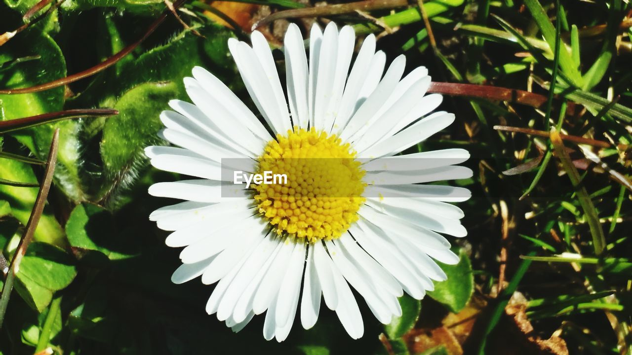 flower, flowering plant, plant, growth, beauty in nature, freshness, white color, petal, fragility, flower head, vulnerability, close-up, nature, inflorescence, daisy, pollen, focus on foreground, day, no people, outdoors, spring