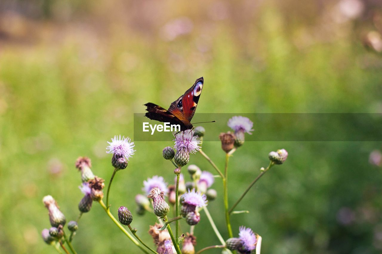 flower, flowering plant, insect, invertebrate, animal themes, animal, animal wildlife, one animal, plant, animals in the wild, fragility, beauty in nature, vulnerability, growth, freshness, petal, pollination, close-up, flower head, animal wing, no people, butterfly - insect, purple, butterfly