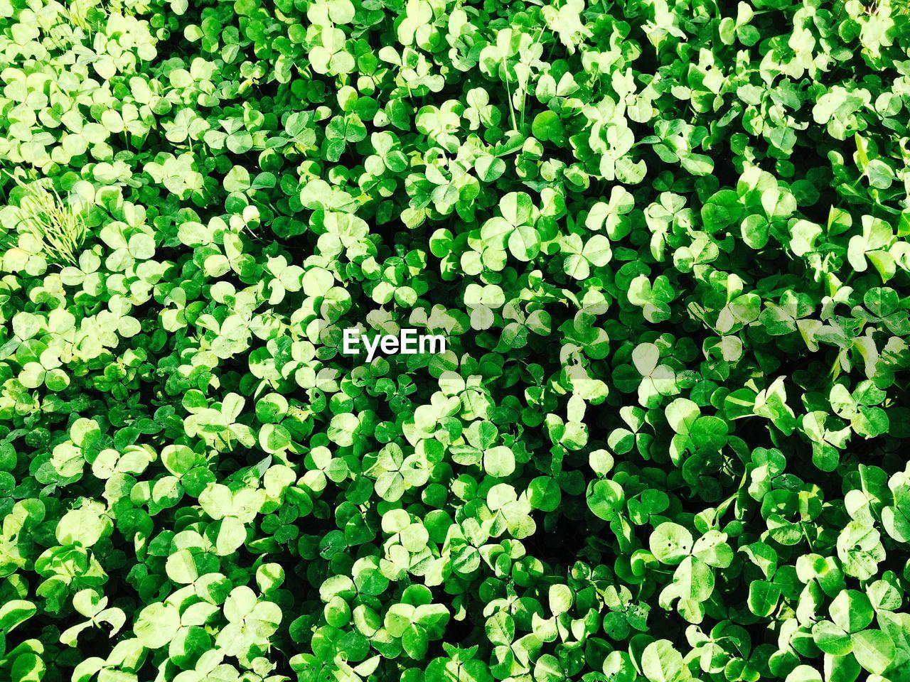 Full frame shot of clovers growing