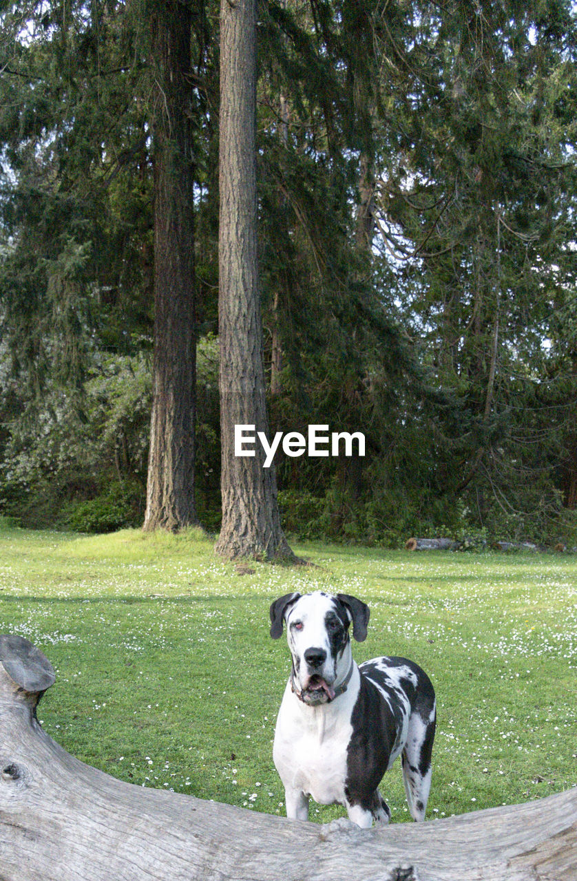 canine, dog, one animal, domestic, pets, mammal, animal themes, domestic animals, animal, tree, plant, day, nature, no people, sitting, vertebrate, grass, land, trunk, tree trunk, outdoors, border collie, animal head, purebred dog
