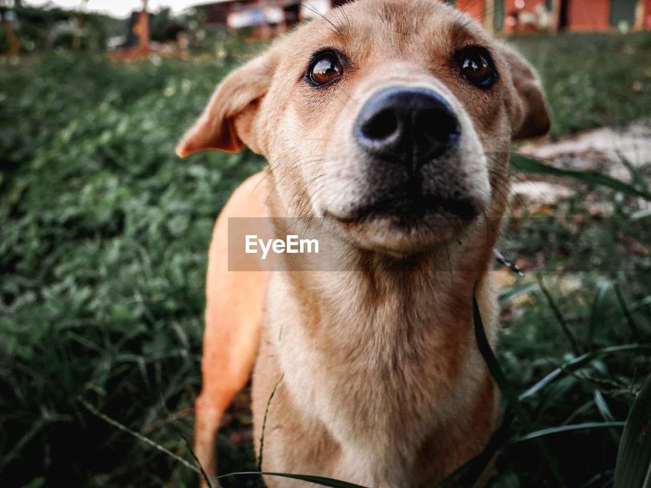 dog, canine, domestic, pets, one animal, domestic animals, mammal, portrait, looking at camera, vertebrate, day, close-up, people, field, animal body part, plant, animal nose, snout, animal mouth