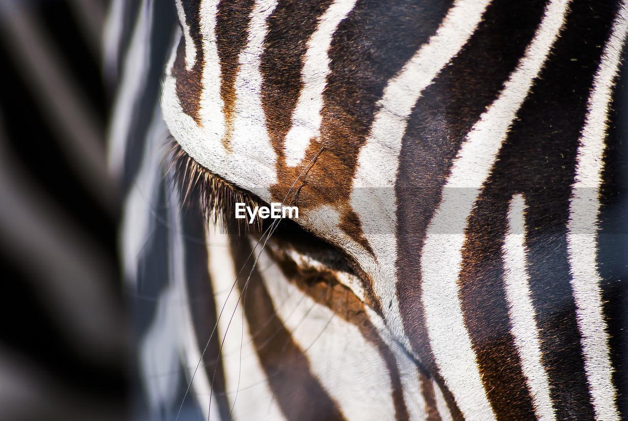 Close-up Of Zebra On Sunny Day