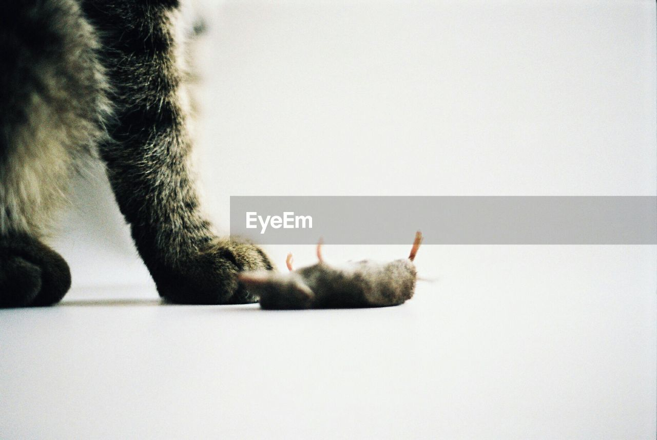 one animal, animal themes, pets, domestic cat, domestic animals, mammal, white background, feline, animal leg, indoors, close-up, paw, studio shot, human body part, human hand, one person, day, people