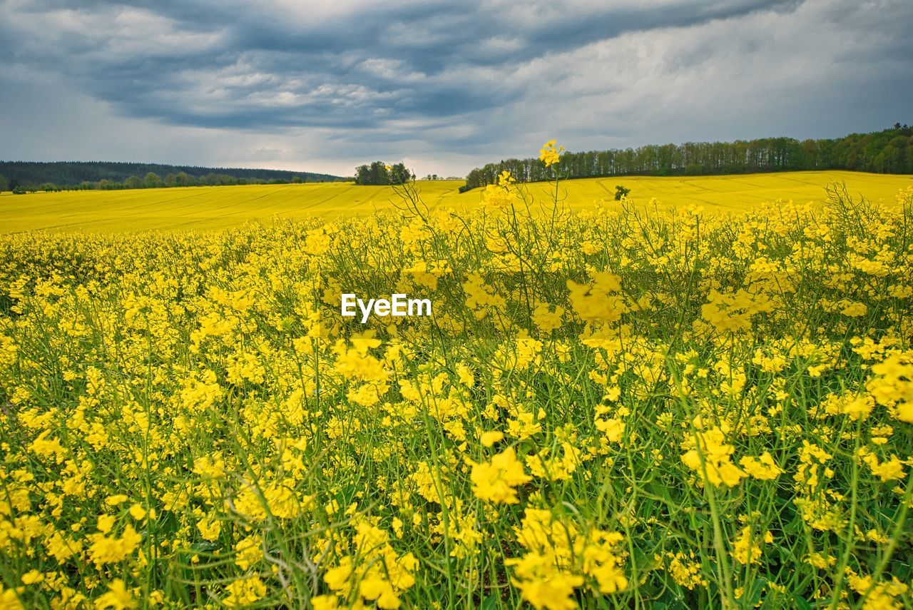 yellow, beauty in nature, agriculture, flower, field, oilseed rape, flowering plant, growth, scenics - nature, land, plant, landscape, farm, environment, nature, freshness, crop, sky, rural scene, tranquil scene, no people, springtime, flowerbed