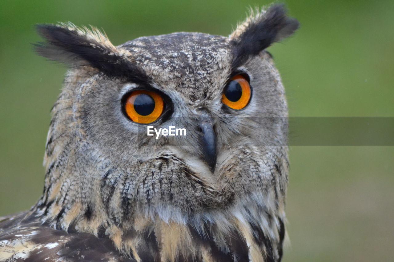 Close-Up Portrait Of Eagle Owl