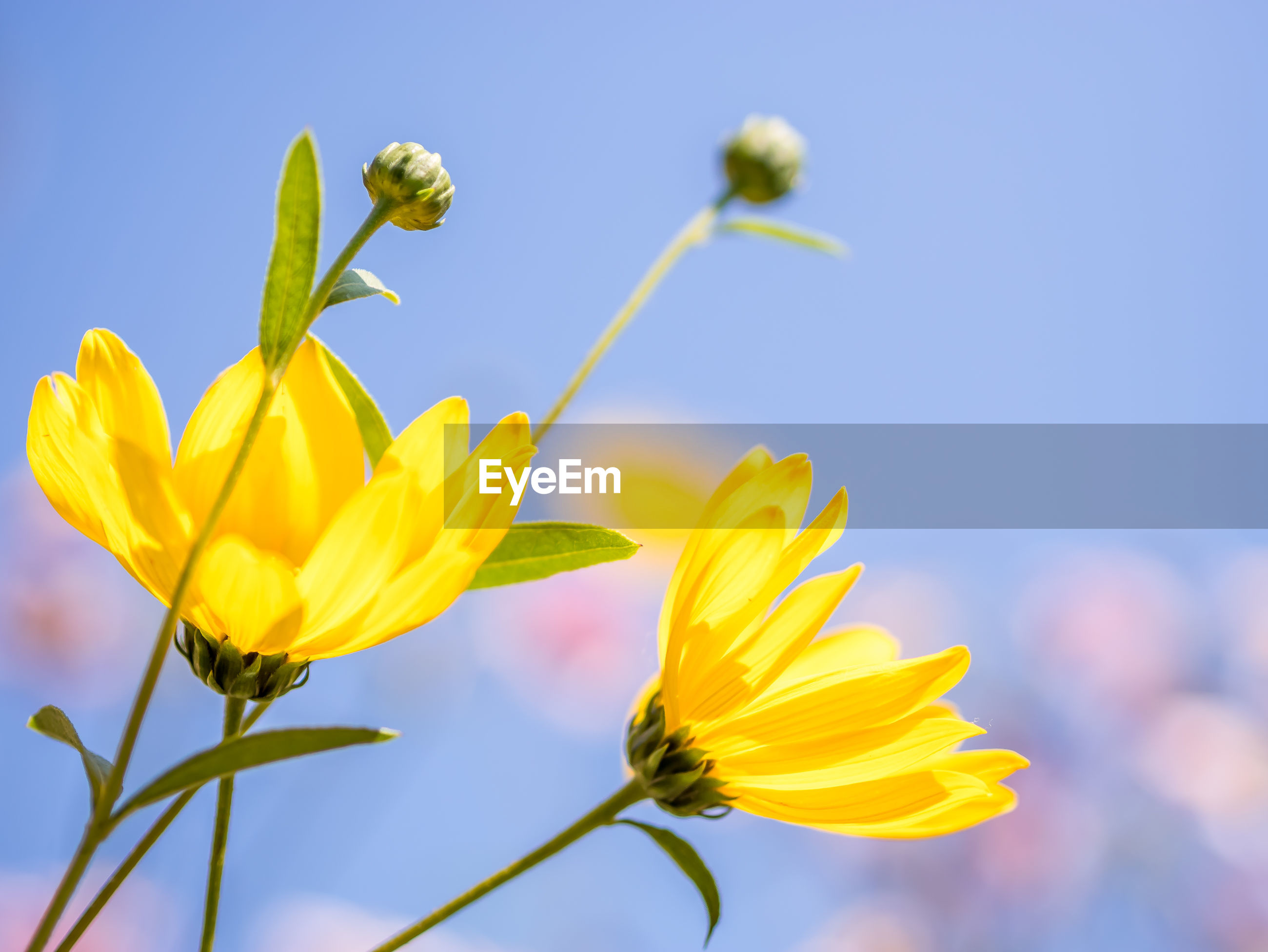 Low angle view of yellow flowering plant against sky, wild sunflowers