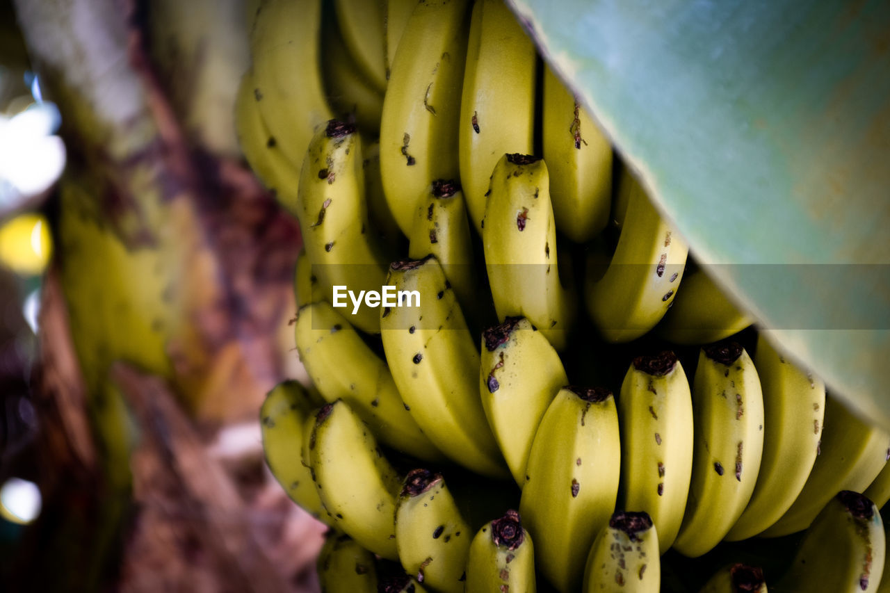 CLOSE-UP OF BANANAS GROWING IN PLANT