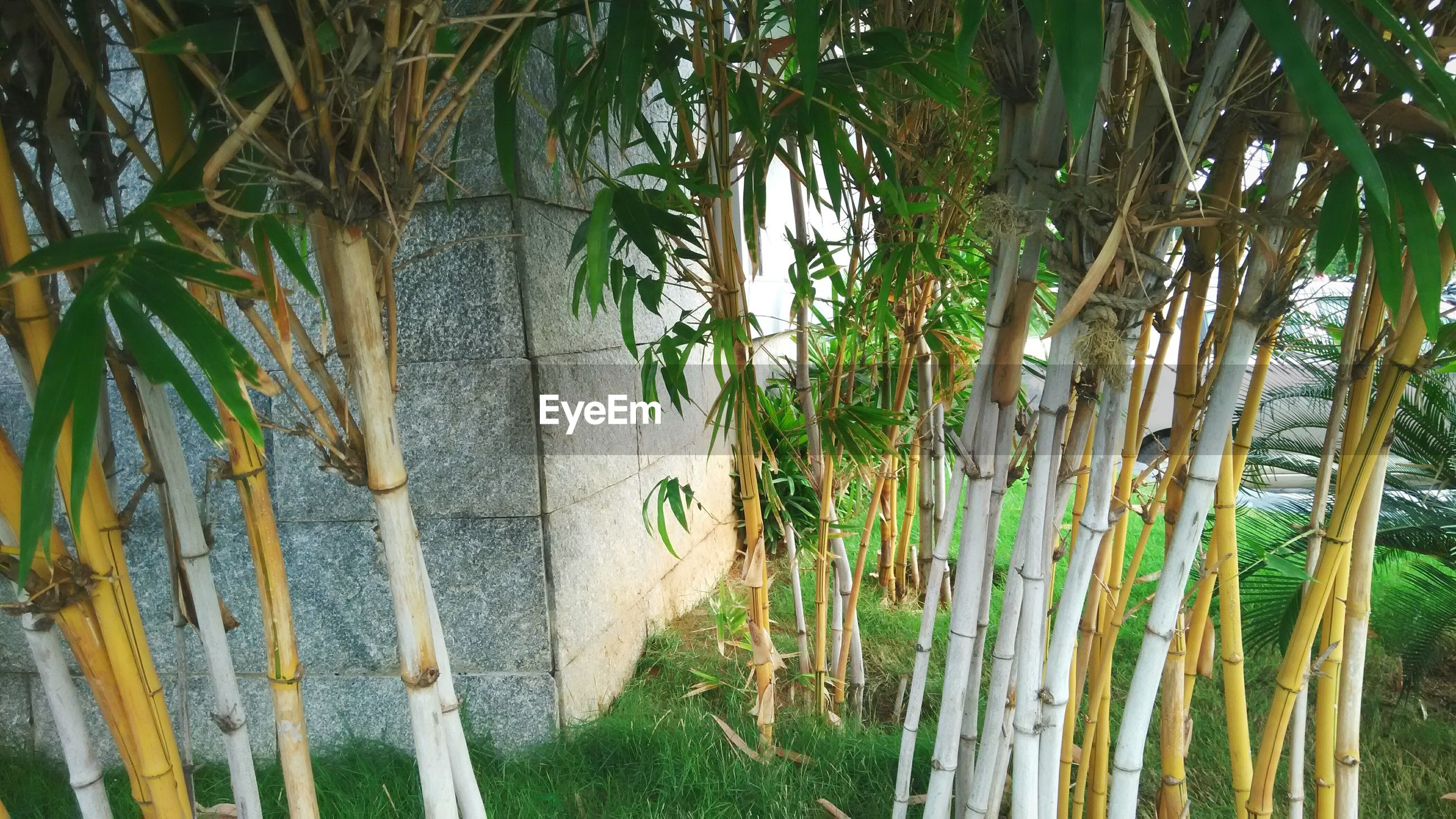 Bamboo trees growing on field