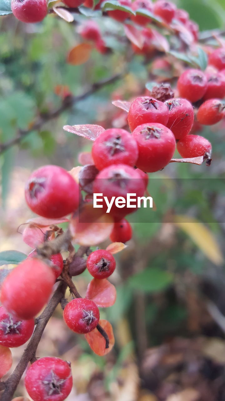 growth, focus on foreground, nature, plant, red, beauty in nature, outdoors, fruit, no people, day, tree, close-up, freshness, flower, fragility