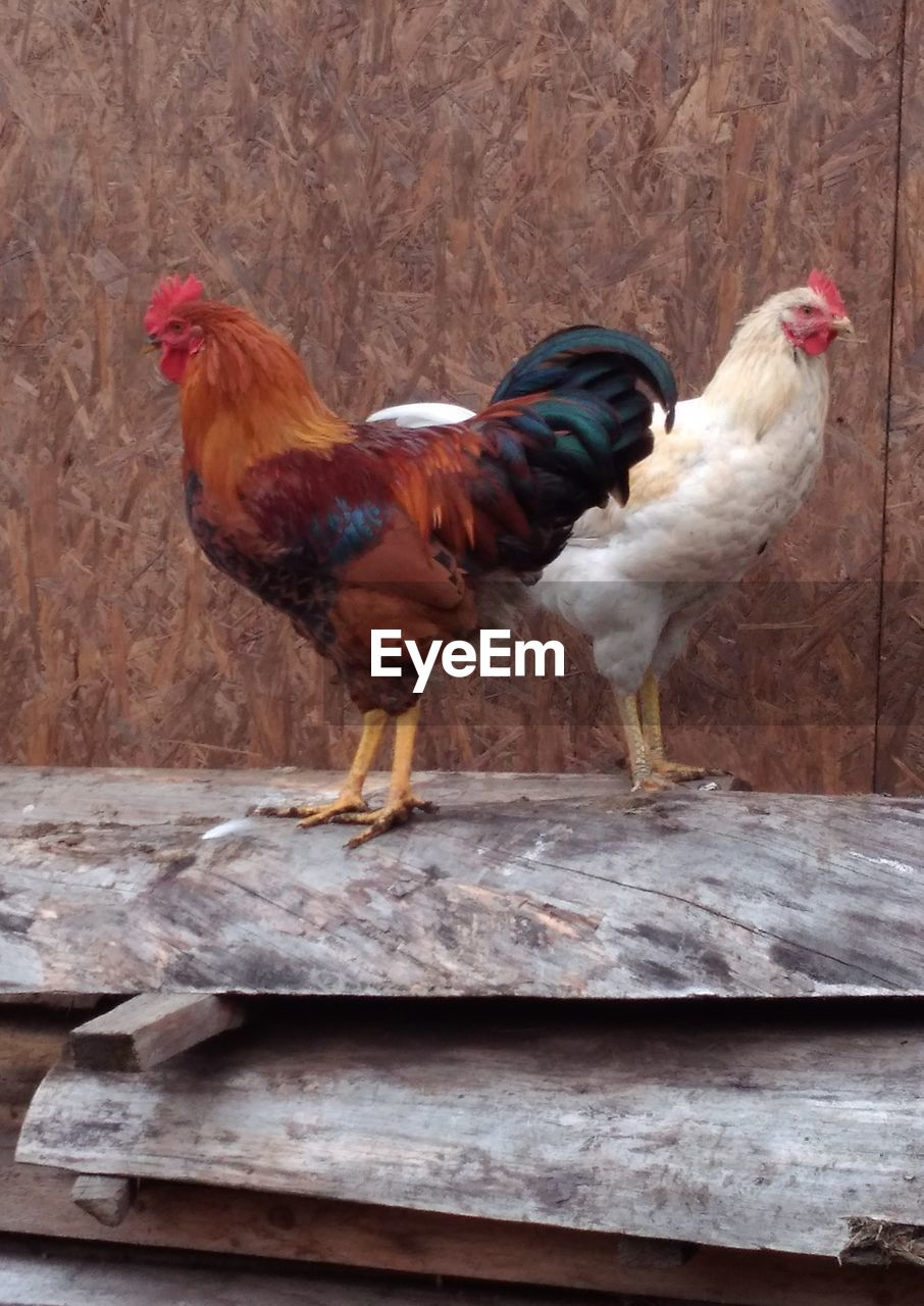 livestock, chicken - bird, domestic animals, bird, animal themes, domestic, animal, pets, chicken, male animal, mammal, vertebrate, rooster, group of animals, no people, day, cockerel, nature, side view, wood - material, outdoors