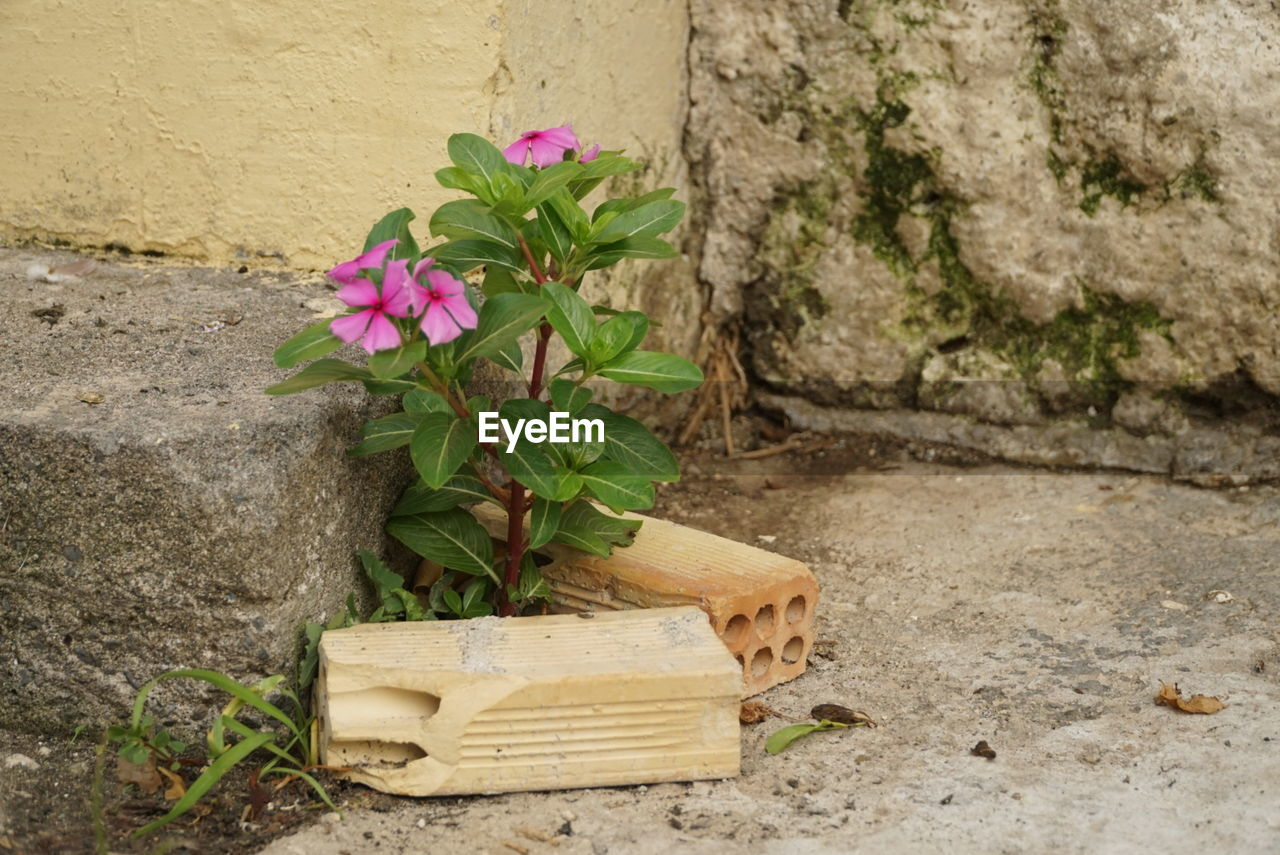 flower, growth, plant, no people, day, outdoors, nature, wood - material, built structure, architecture, leaf, beauty in nature, fragility, building exterior, flower head, freshness, periwinkle, close-up