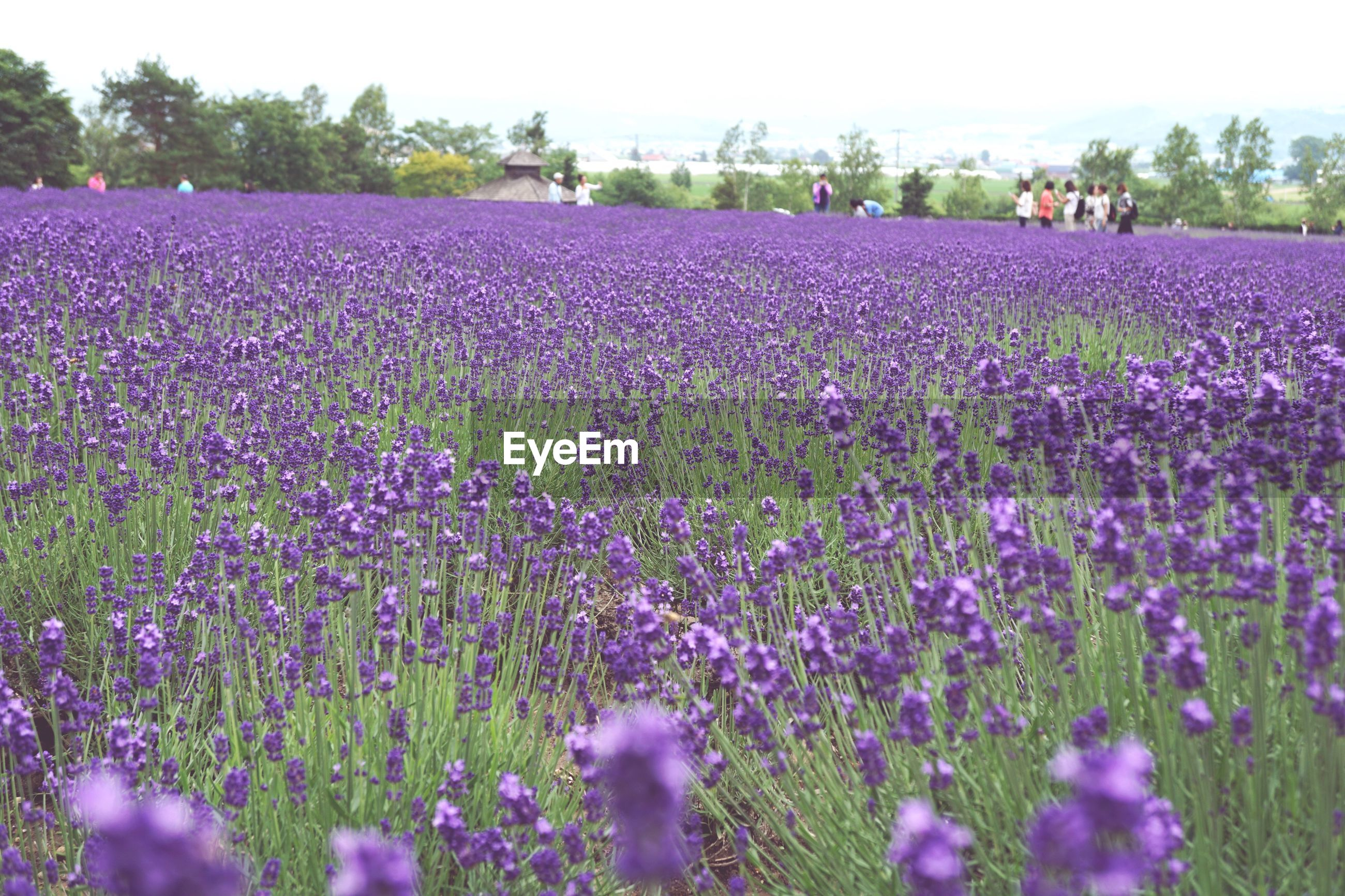 plant, flower, flowering plant, growth, beauty in nature, field, purple, land, landscape, nature, rural scene, freshness, agriculture, vulnerability, lavender, day, scenics - nature, fragility, tranquility, farm, outdoors, flowerbed