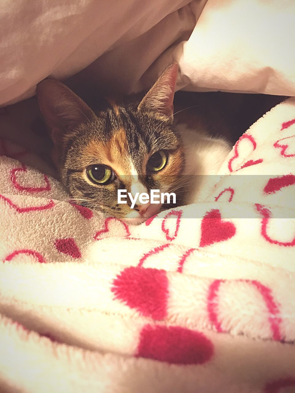 pets, domestic animals, domestic, cat, domestic cat, mammal, animal themes, one animal, animal, vertebrate, feline, bed, furniture, indoors, relaxation, looking at camera, close-up, portrait, blanket, no people, whisker, animal head, animal eye