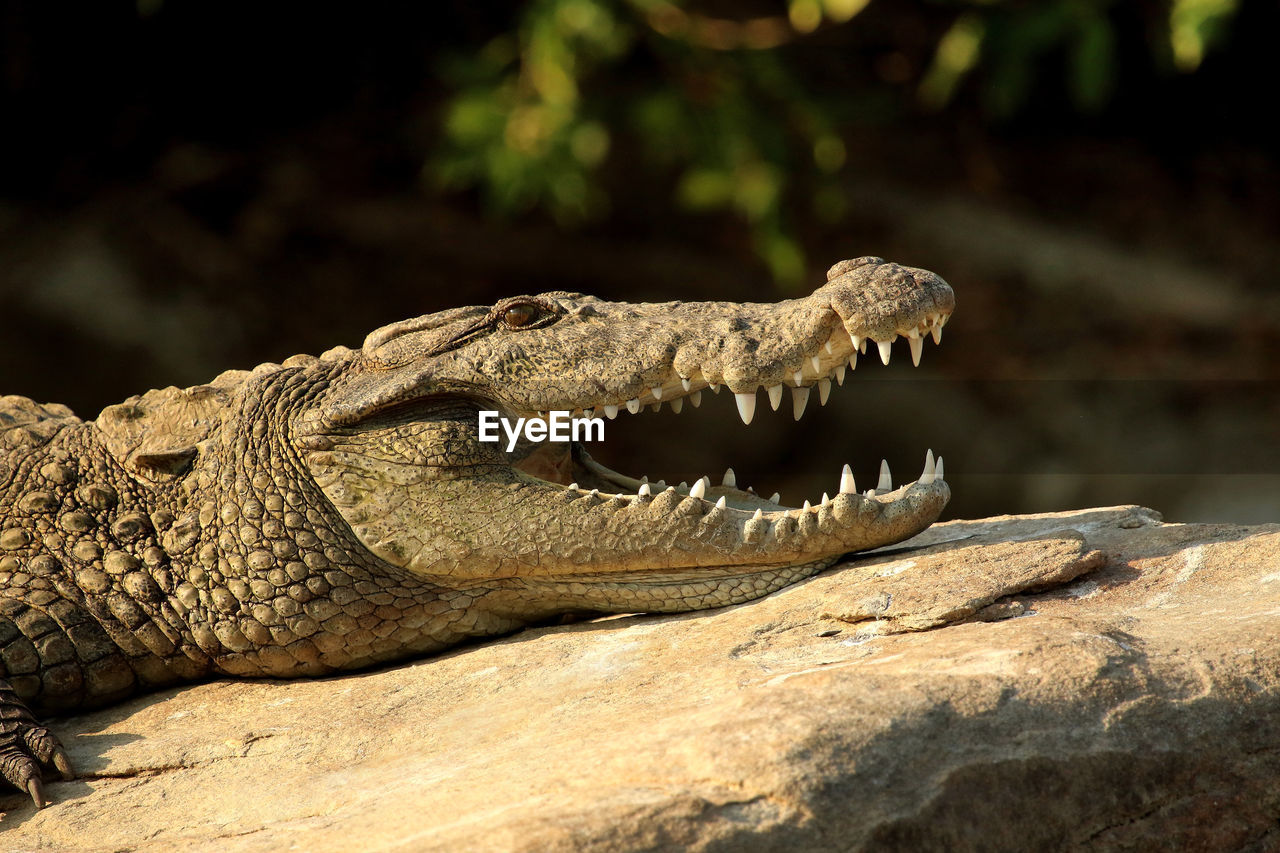 animal themes, animal, animals in the wild, reptile, animal wildlife, one animal, vertebrate, crocodile, animal teeth, focus on foreground, animal body part, no people, nature, close-up, solid, mouth, rock, mouth open, day, rock - object, animal head, animal mouth, profile view
