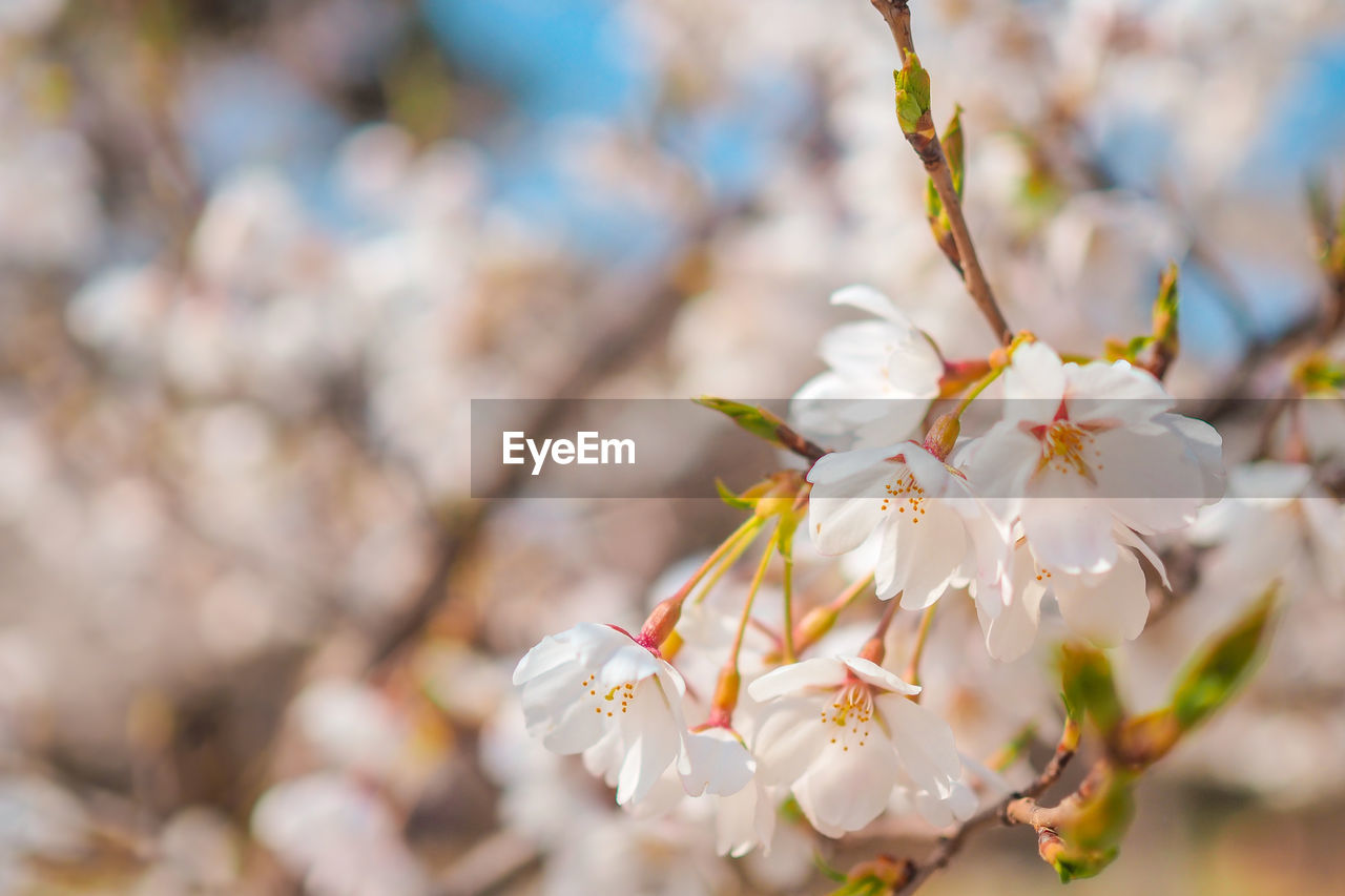 flowering plant, flower, freshness, fragility, vulnerability, beauty in nature, plant, petal, growth, close-up, white color, focus on foreground, day, no people, flower head, springtime, nature, inflorescence, tree, branch, cherry blossom, pollen, outdoors, cherry tree, spring