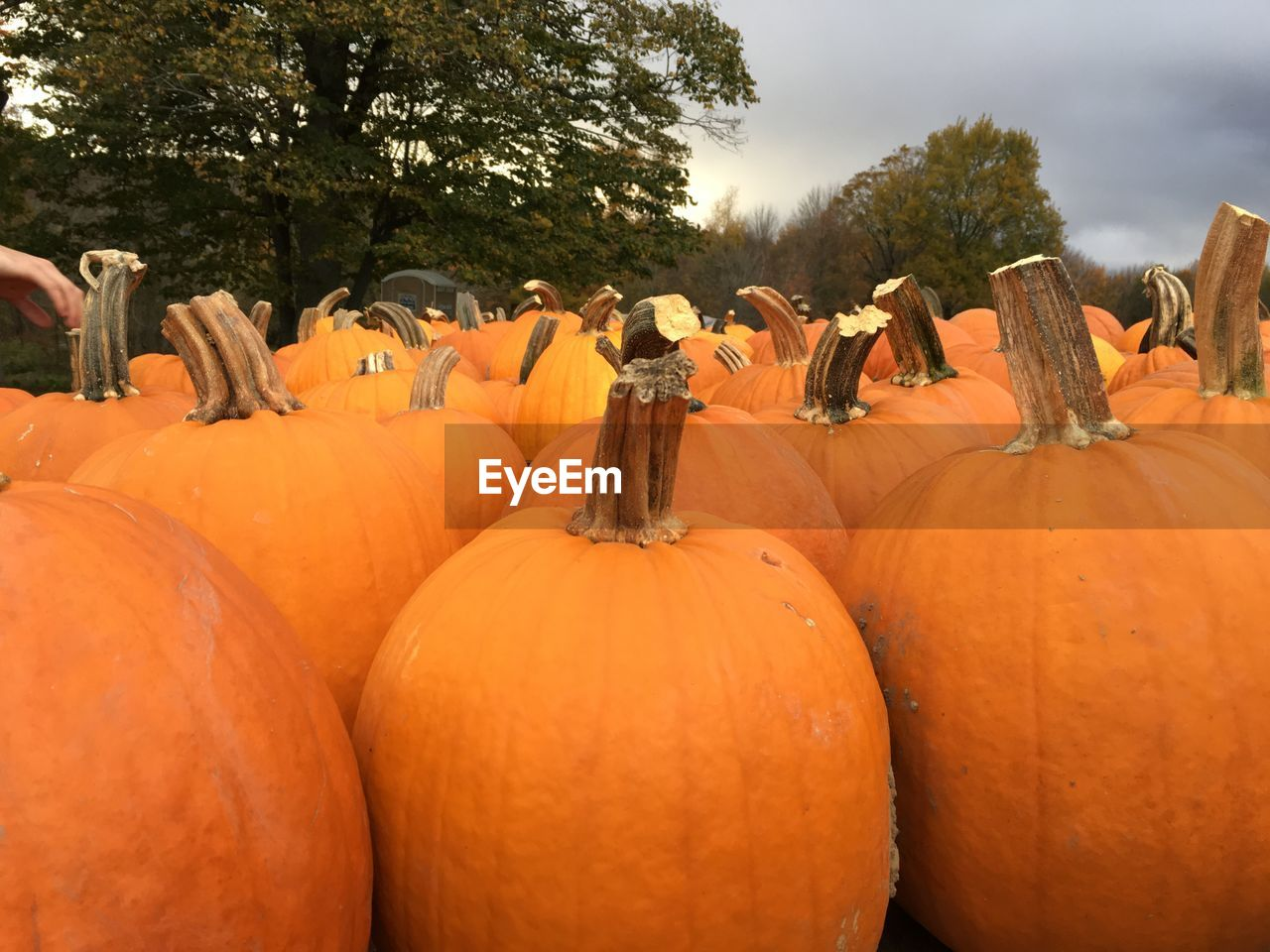 Close-Up Of Pumpkins Against Trees
