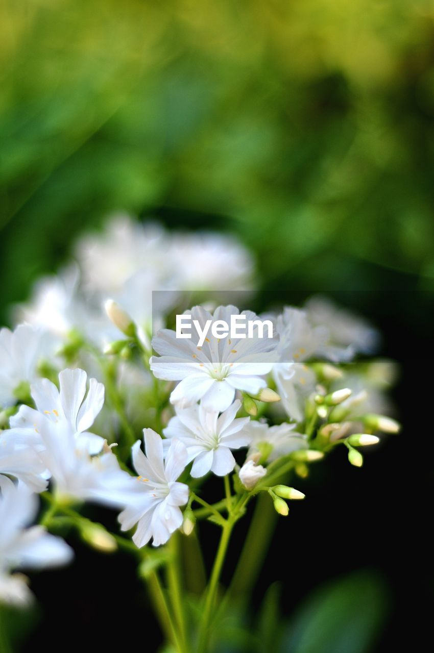 flower, flowering plant, vulnerability, plant, fragility, freshness, beauty in nature, growth, close-up, selective focus, petal, white color, day, nature, no people, inflorescence, flower head, focus on foreground, outdoors, botany