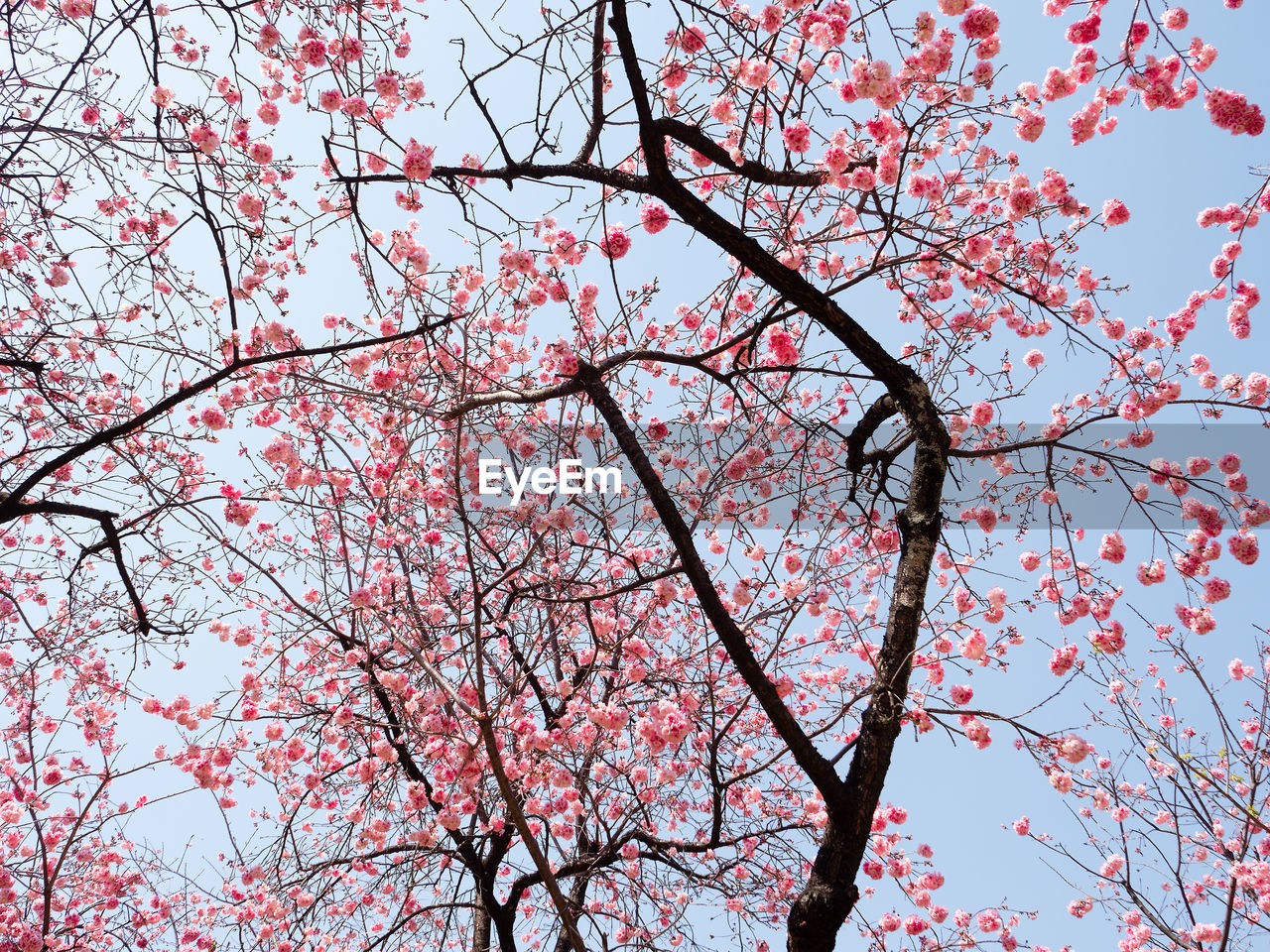 tree, branch, low angle view, flowering plant, plant, flower, pink color, blossom, sky, growth, springtime, nature, no people, beauty in nature, day, cherry blossom, freshness, fragility, cherry tree, clear sky, outdoors, plum blossom, spring