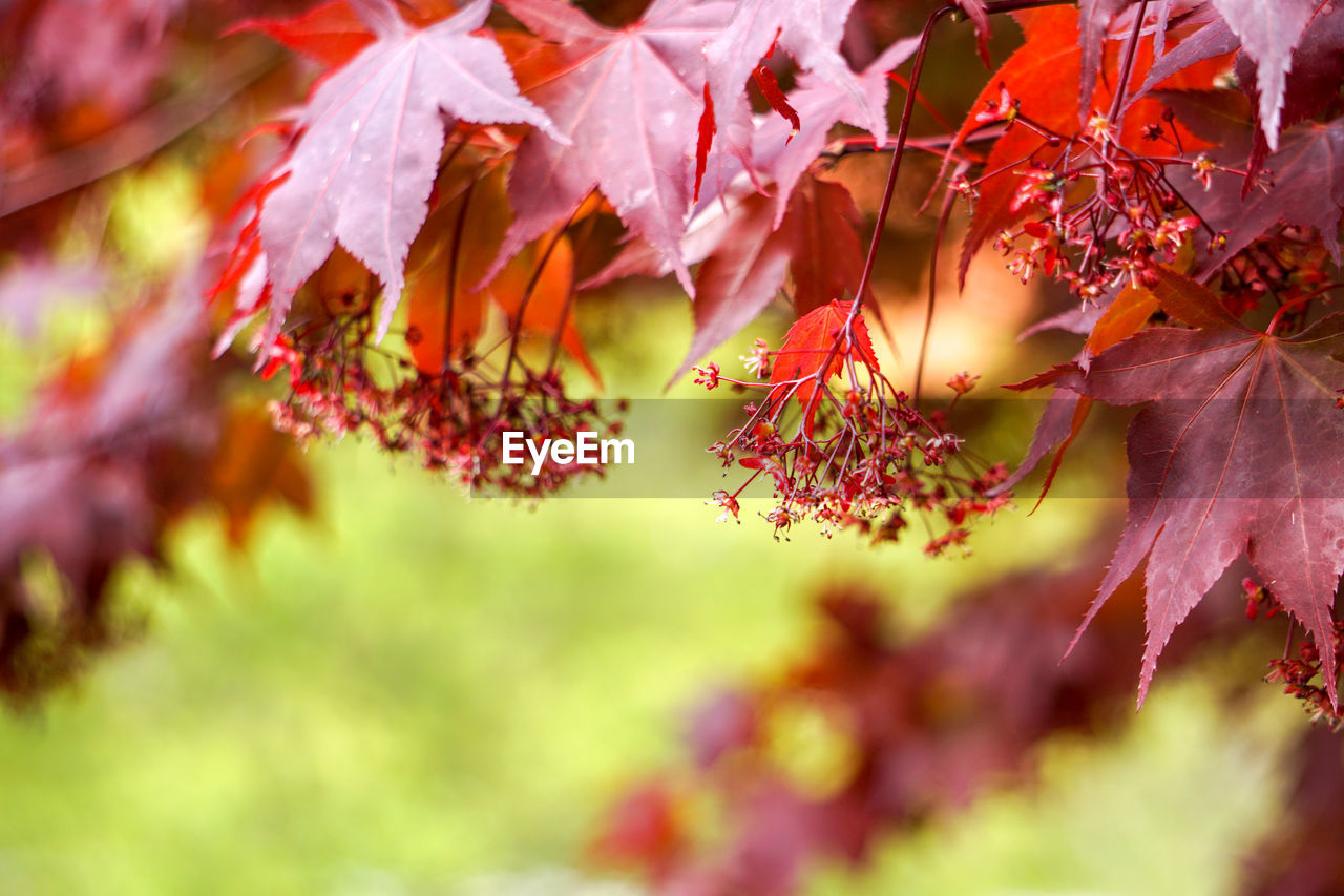 beauty in nature, plant, growth, autumn, change, plant part, selective focus, leaf, nature, day, red, close-up, tree, no people, branch, outdoors, maple leaf, leaves, vulnerability, fragility, maple tree, natural condition, fall, autumn collection
