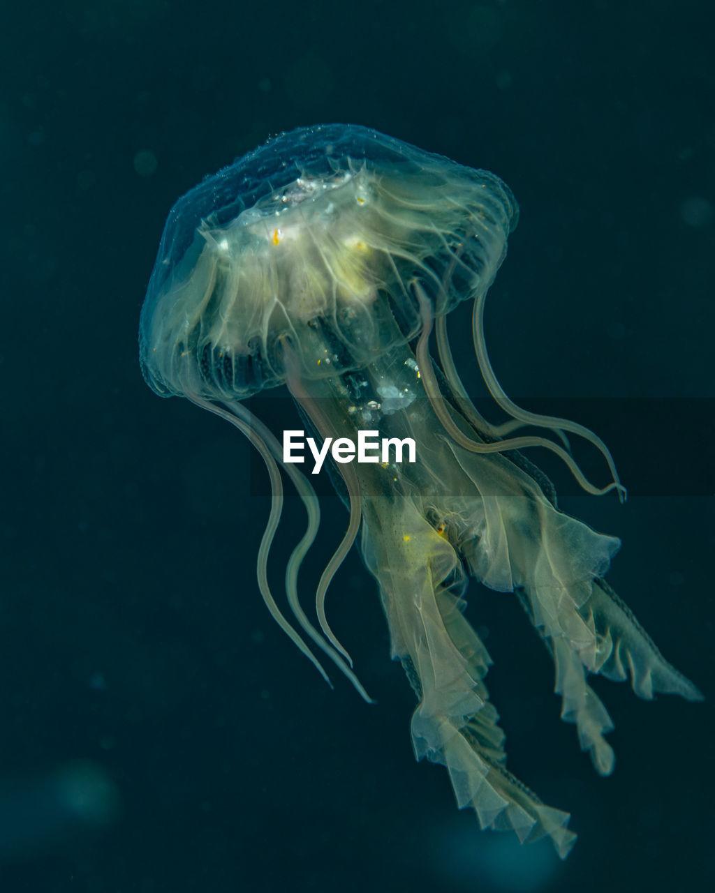 Unknown jellyfish species