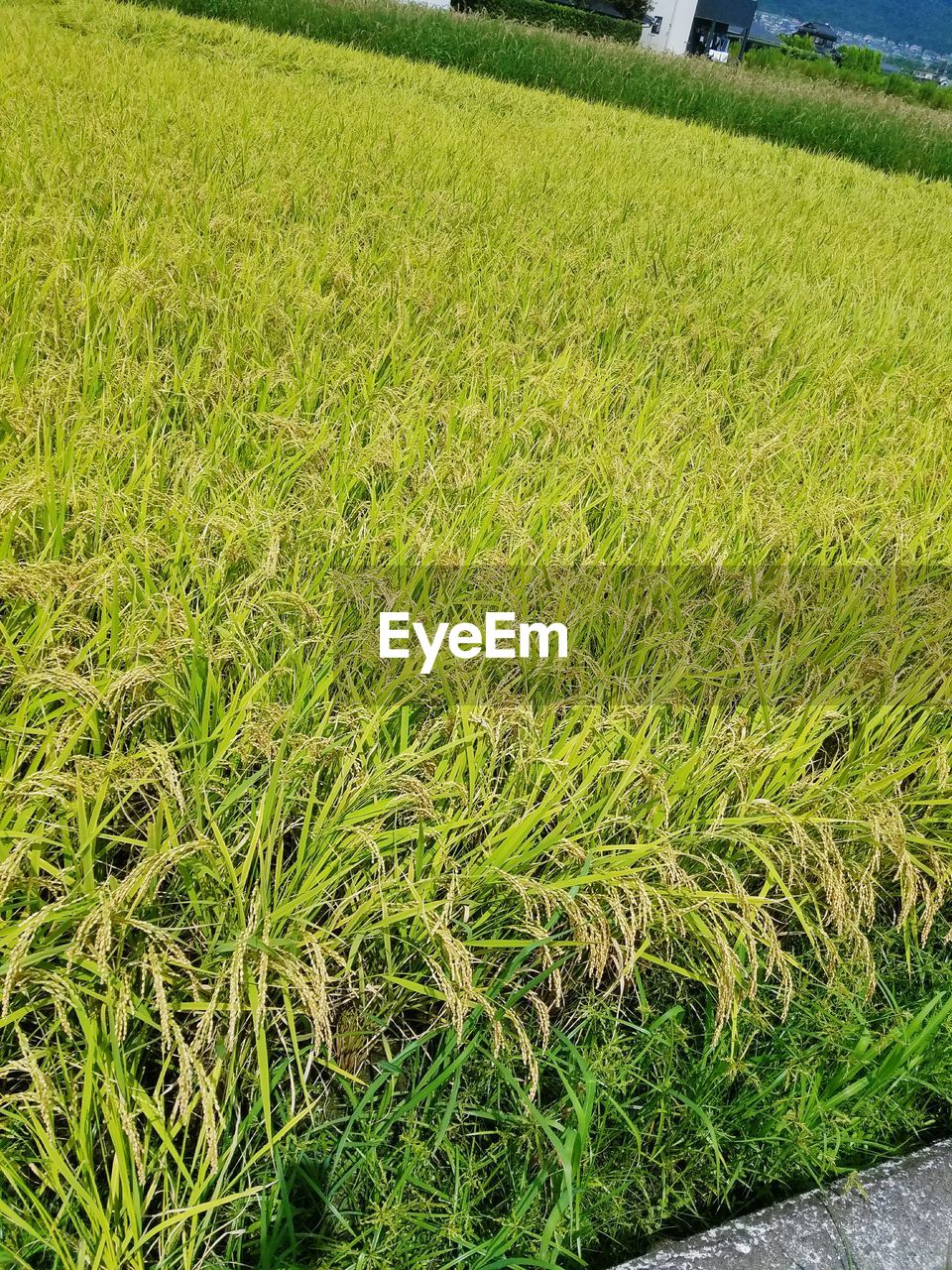 growth, grass, agriculture, field, green color, farm, nature, crop, no people, day, tranquility, outdoors, rural scene, beauty in nature, landscape, scenics, freshness, close-up