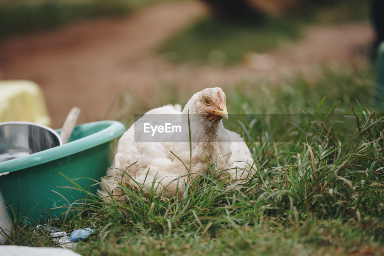 Close-Up Of Chicken On Grass