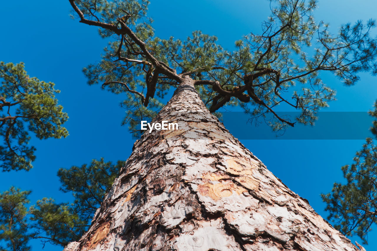 tree, plant, low angle view, sky, trunk, tree trunk, branch, blue, nature, no people, day, growth, beauty in nature, tranquility, outdoors, clear sky, sunlight, directly below, bark, tall - high, tree canopy